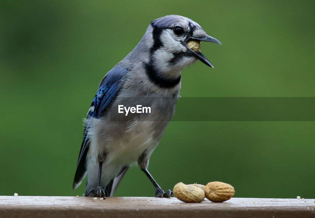 Close-Up Of Bird With Peanuts Perching On Railing