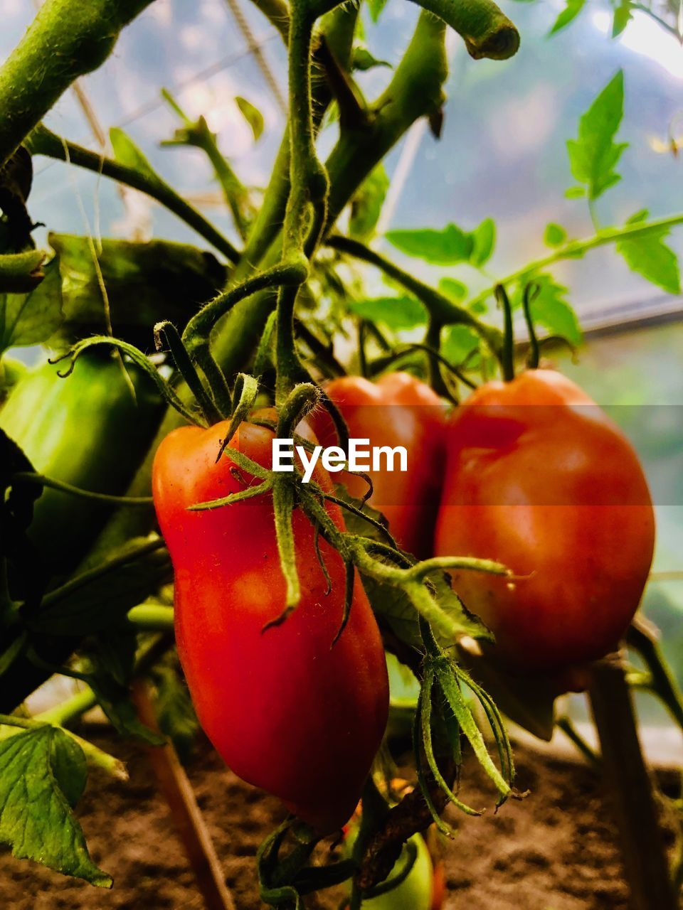 food and drink, food, red, vegetable, healthy eating, tomato, fruit, freshness, growth, plant, wellbeing, leaf, nature, plant part, close-up, no people, focus on foreground, green color, day, ripe