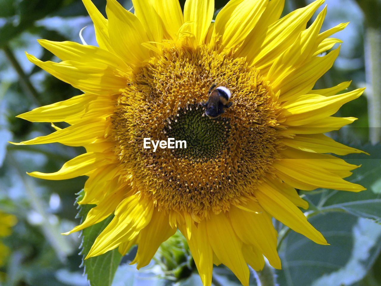 High Angle View Of Insect Pollinating On Sunflower