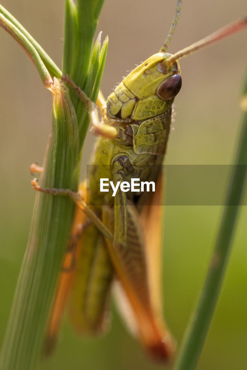 animal wildlife, animals in the wild, animal themes, animal, green color, one animal, invertebrate, insect, close-up, plant, selective focus, grasshopper, nature, day, focus on foreground, no people, animal antenna, outdoors, animal body part, zoology, blade of grass, animal eye