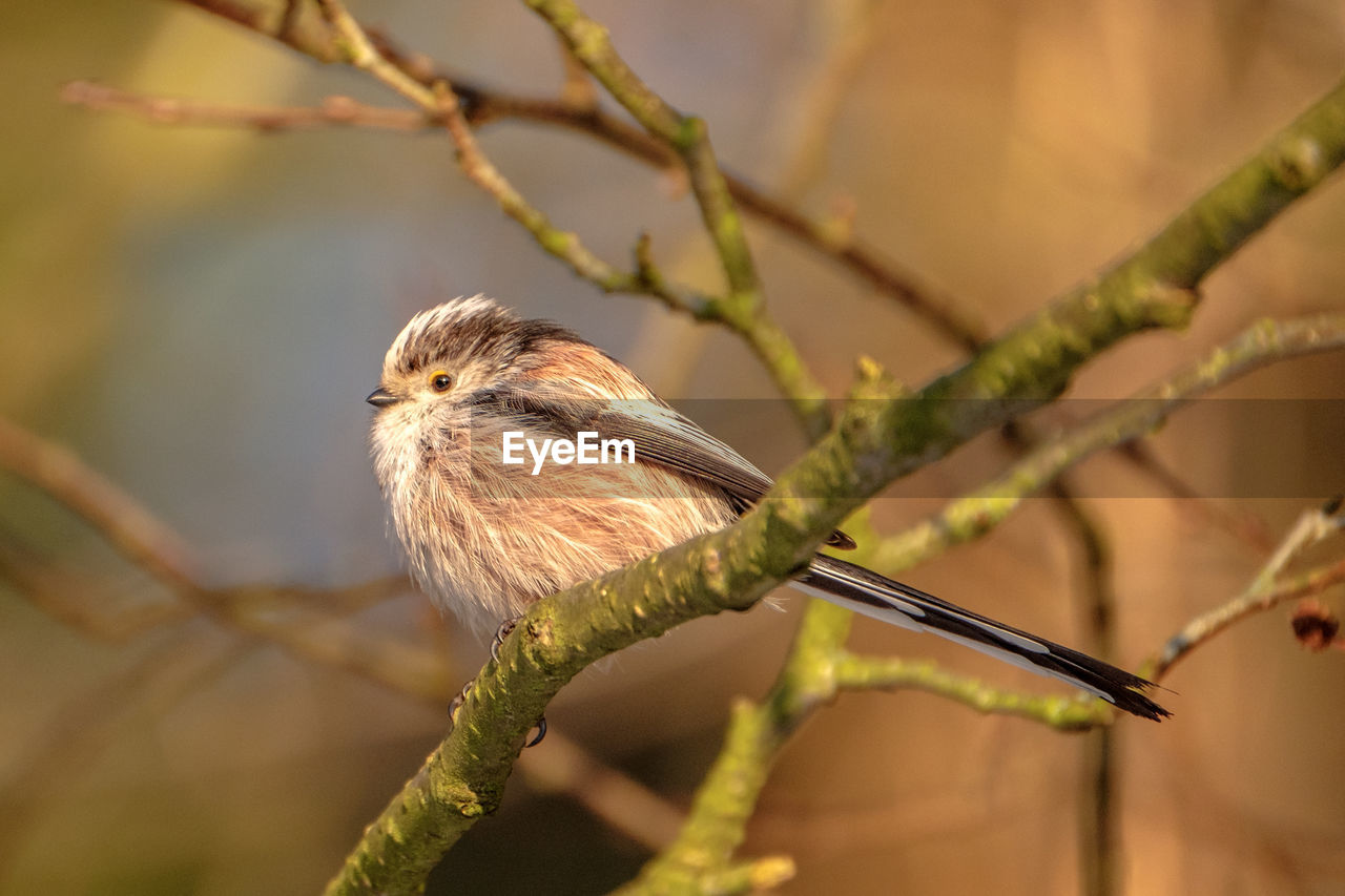 animal themes, one animal, animal, animal wildlife, animals in the wild, vertebrate, bird, focus on foreground, plant, tree, perching, branch, close-up, no people, nature, day, selective focus, twig, outdoors, sunlight