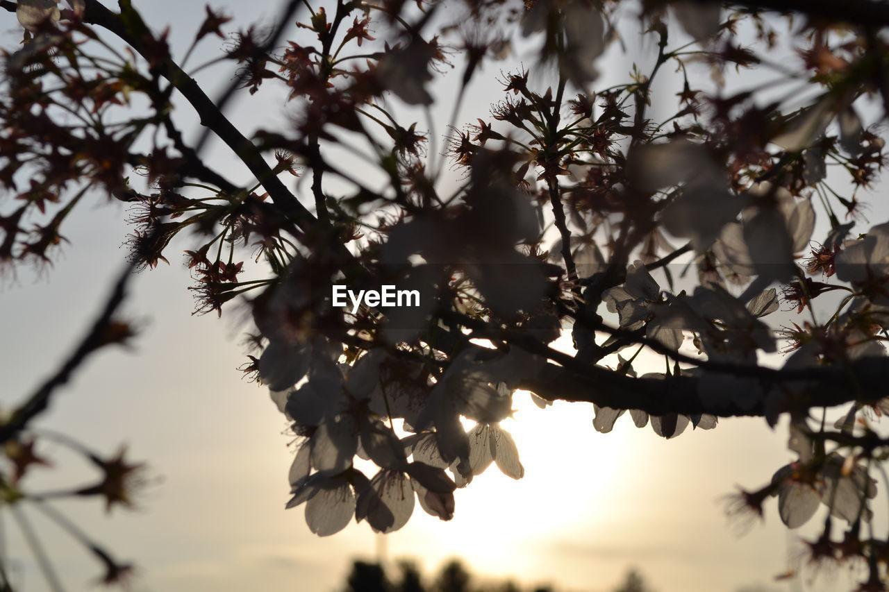 CLOSE UP OF BLOSSOM TREE