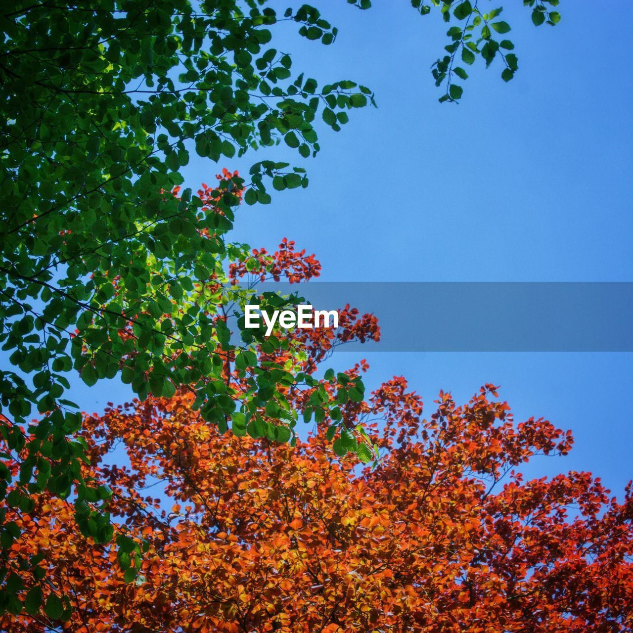 tree, growth, low angle view, nature, beauty in nature, leaf, branch, autumn, day, outdoors, blue, no people, clear sky, freshness, sky, flower