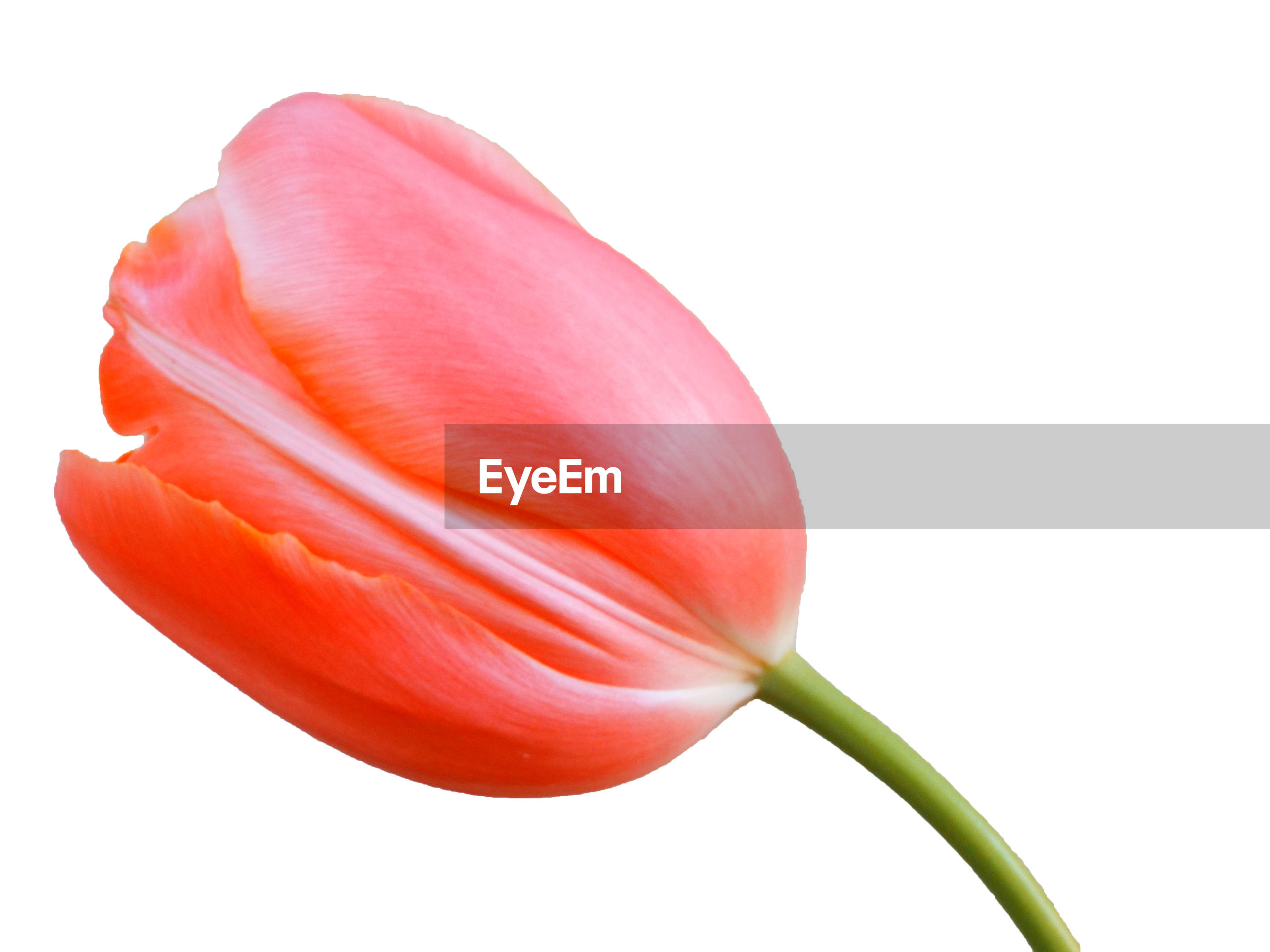 Close-up of tulip flower over white background