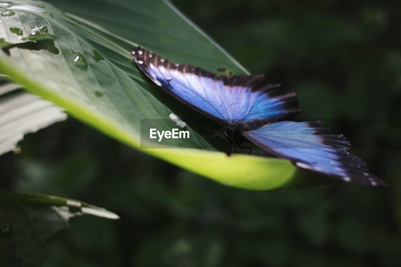 beauty in nature, close-up, plant, plant part, leaf, one animal, animals in the wild, animal themes, green color, insect, growth, invertebrate, animal wildlife, nature, flower, animal, fragility, vulnerability, no people, flowering plant, animal wing, butterfly - insect, purple, flower head, butterfly, pollination