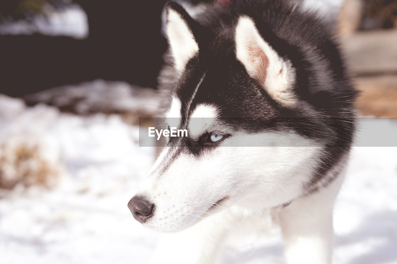 pets, dog, domestic animals, animal themes, siberian husky, mammal, one animal, sled dog, focus on foreground, no people, close-up, outdoors, nature, day