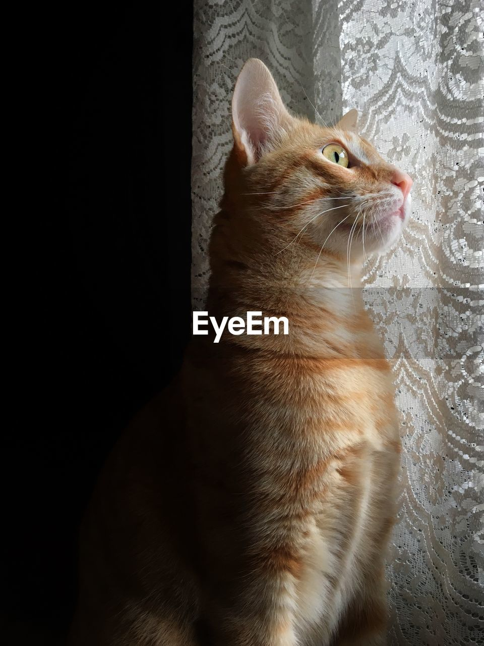 animal themes, animal, pets, one animal, domestic animals, mammal, domestic, cat, feline, domestic cat, vertebrate, looking, indoors, no people, looking away, whisker, looking up, close-up, sitting, studio shot, ginger cat, animal eye