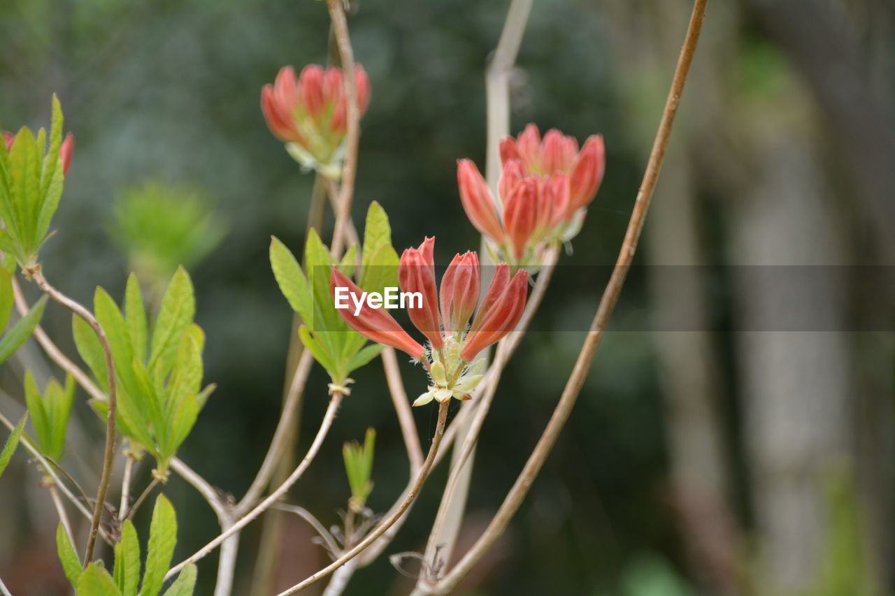 growth, flower, plant, nature, red, beauty in nature, fragility, freshness, focus on foreground, petal, outdoors, no people, day, close-up, flower head, blooming