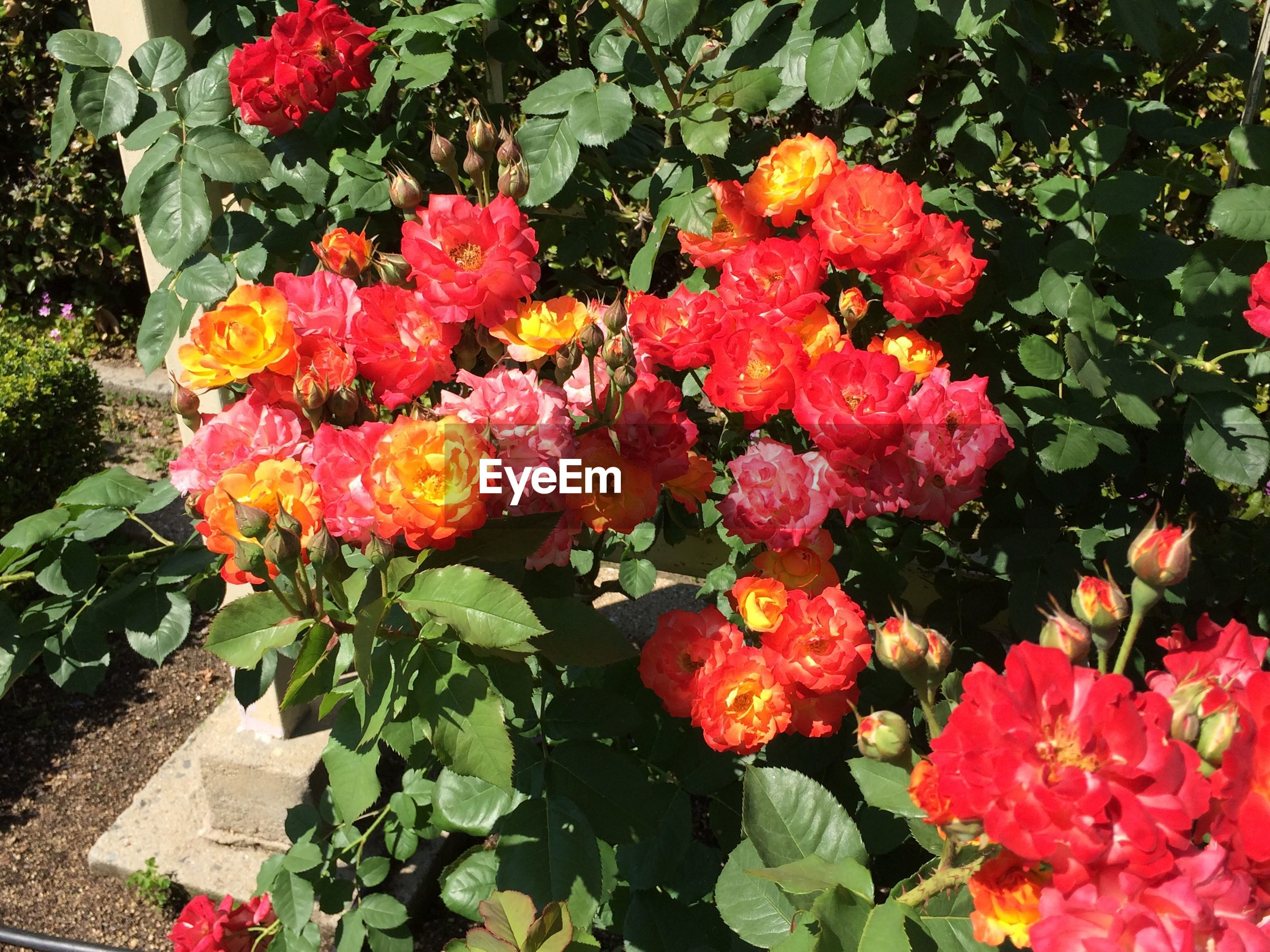 High angle view of red roses blooming outdoors