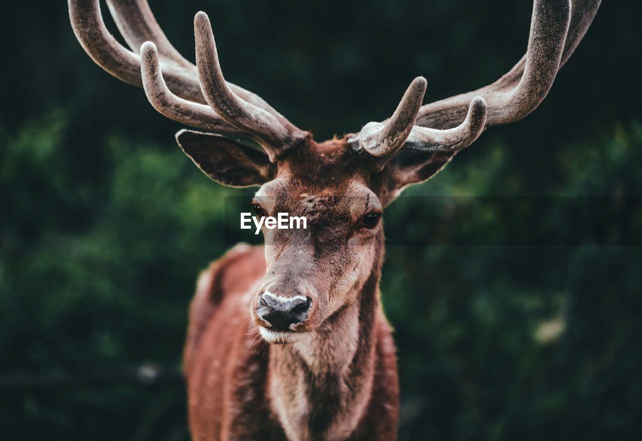Portrait Of Horned Deer