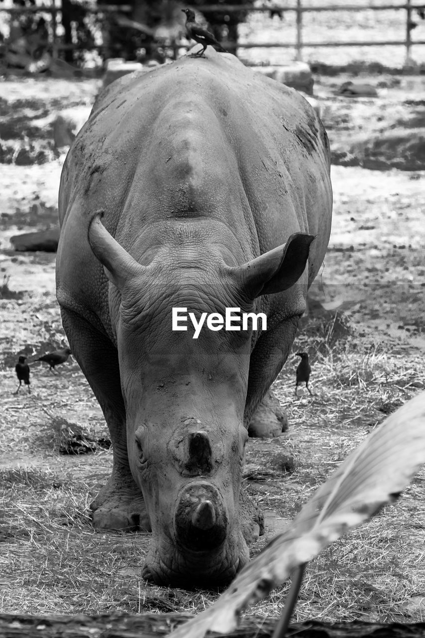 animal themes, animal, mammal, animal wildlife, one animal, vertebrate, domestic animals, field, livestock, day, land, no people, nature, animals in the wild, domestic, pets, portrait, focus on foreground, close-up, animal body part, herbivorous, outdoors, animal head