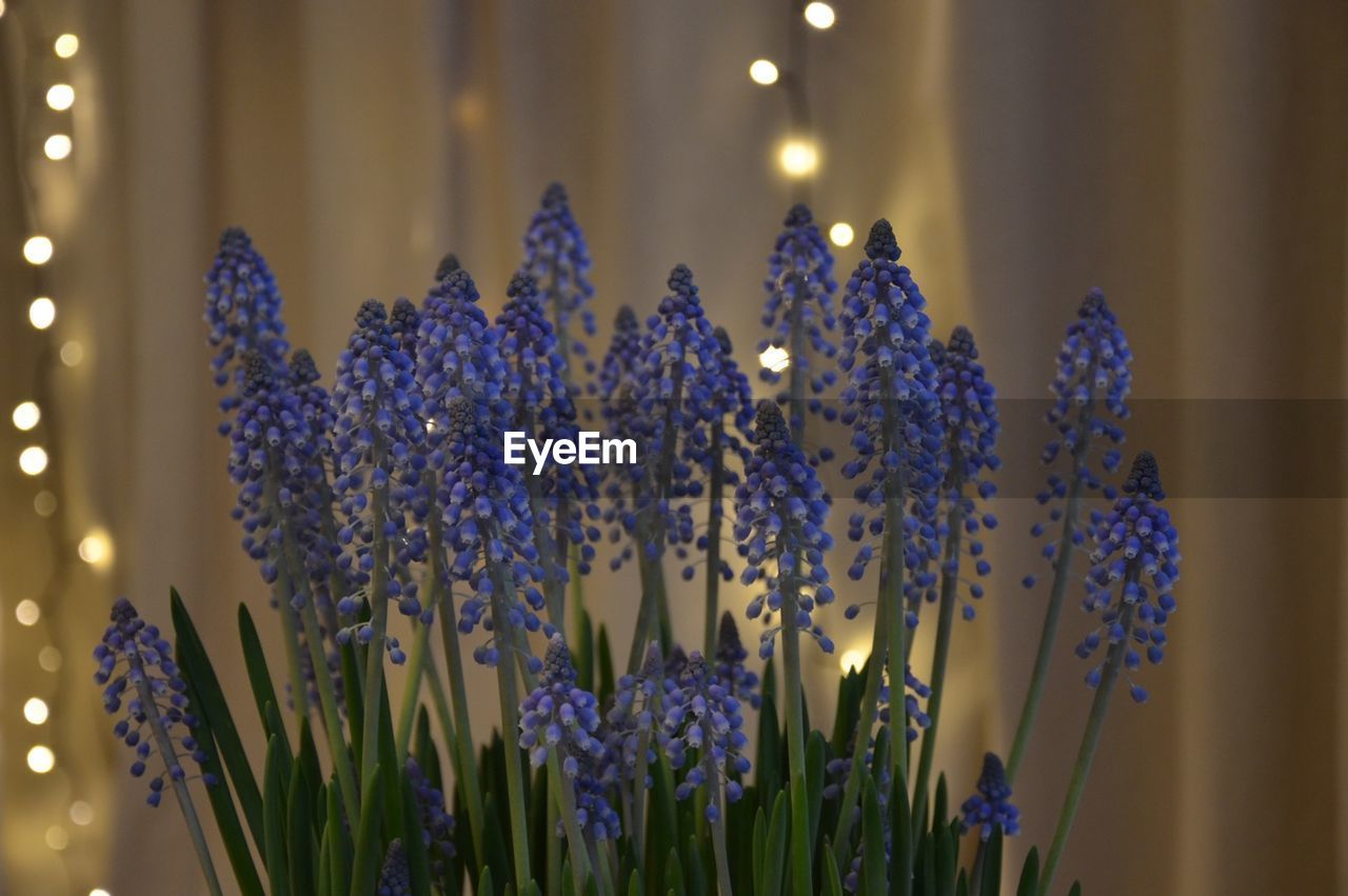 Close-up of hyacinths against illuminated christmas lights