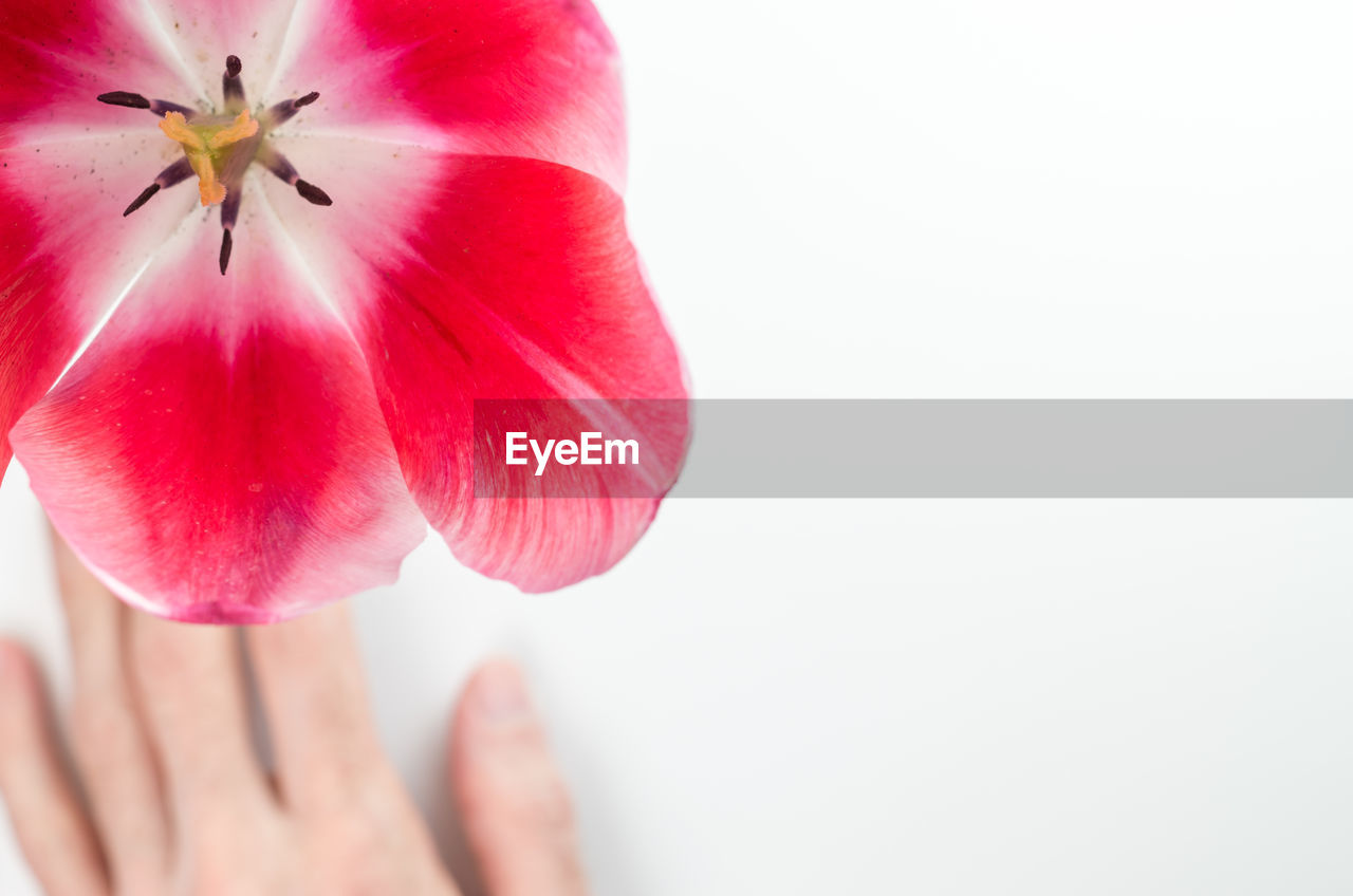 freshness, plant, vulnerability, flowering plant, fragility, flower, copy space, close-up, petal, beauty in nature, studio shot, white background, human hand, inflorescence, hand, red, pink color, flower head, one person, human body part, finger