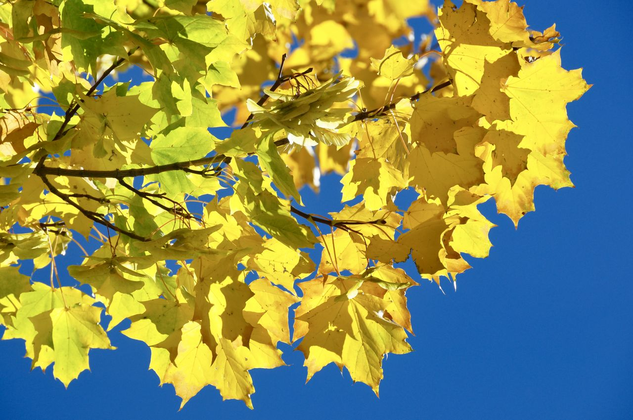 yellow, growth, leaf, nature, no people, clear sky, blue, day, outdoors, beauty in nature, branch, low angle view, tranquility, tree, fragility, sky, close-up