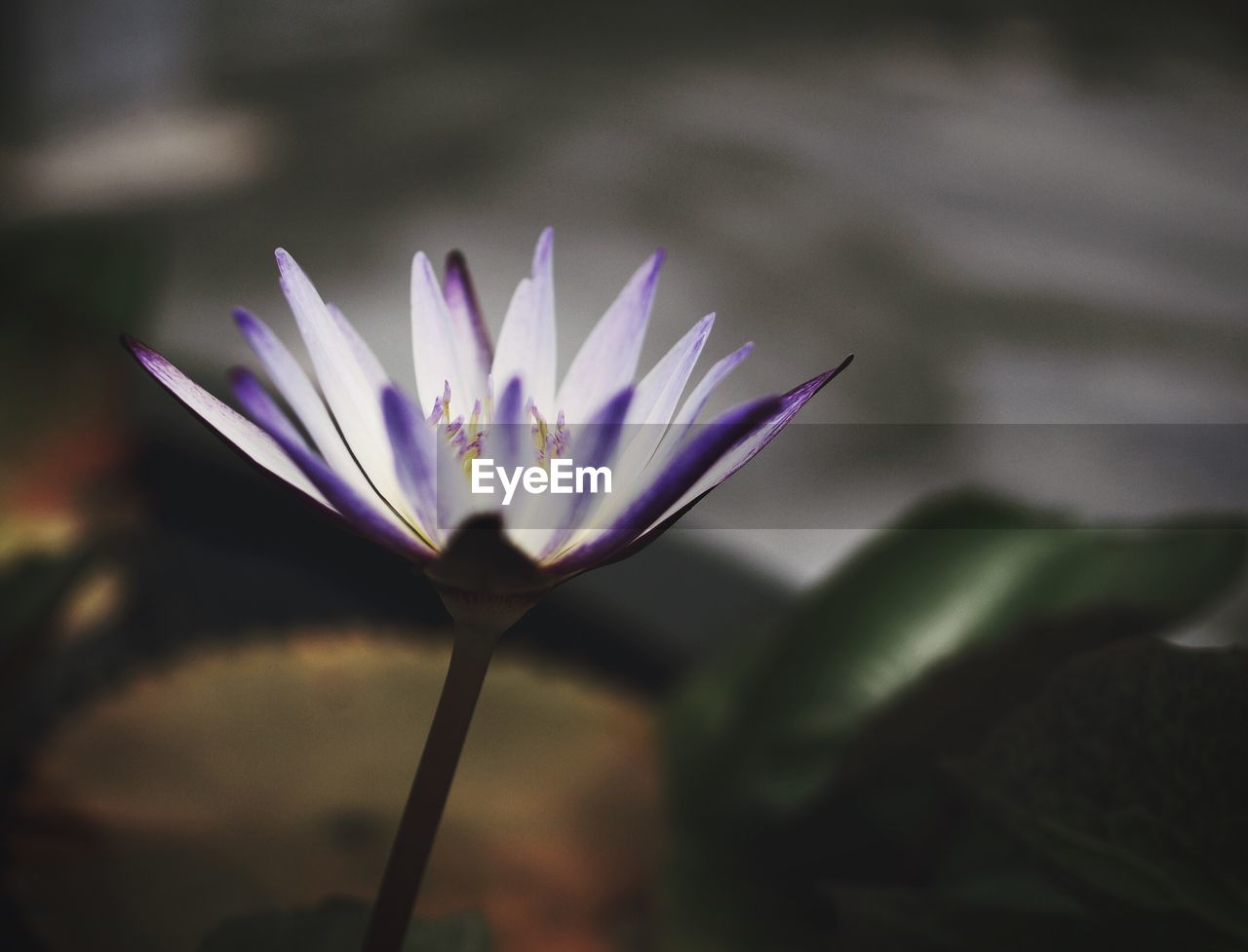flower, fragility, petal, beauty in nature, nature, growth, freshness, flower head, plant, selective focus, outdoors, close-up, day, no people, focus on foreground, blooming, leaf, lotus water lily, crocus