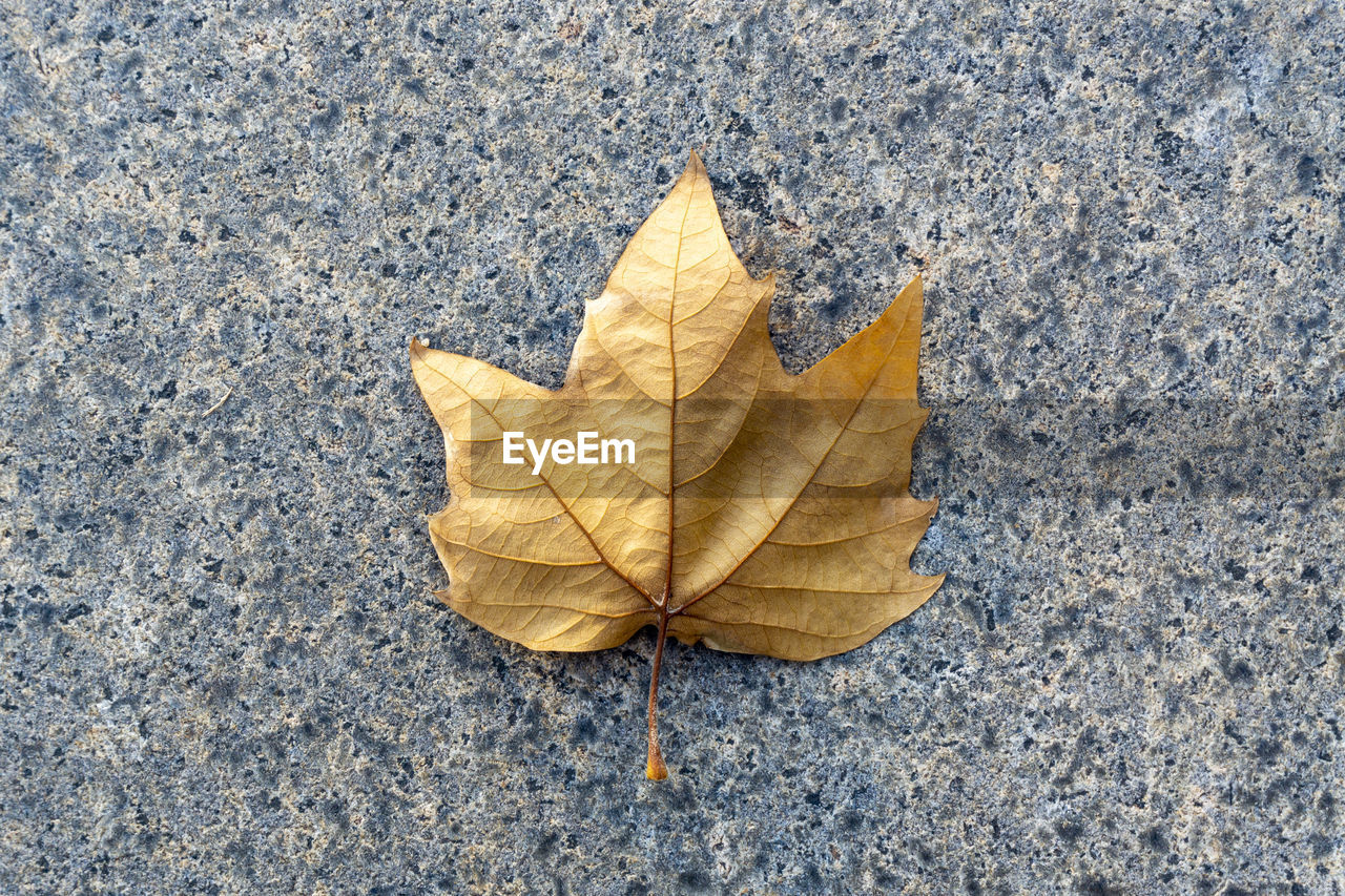 autumn, leaf, plant part, change, dry, nature, leaf vein, directly above, close-up, day, yellow, no people, falling, maple leaf, vulnerability, fragility, natural pattern, high angle view, outdoors, textured, leaves, natural condition, autumn collection, concrete