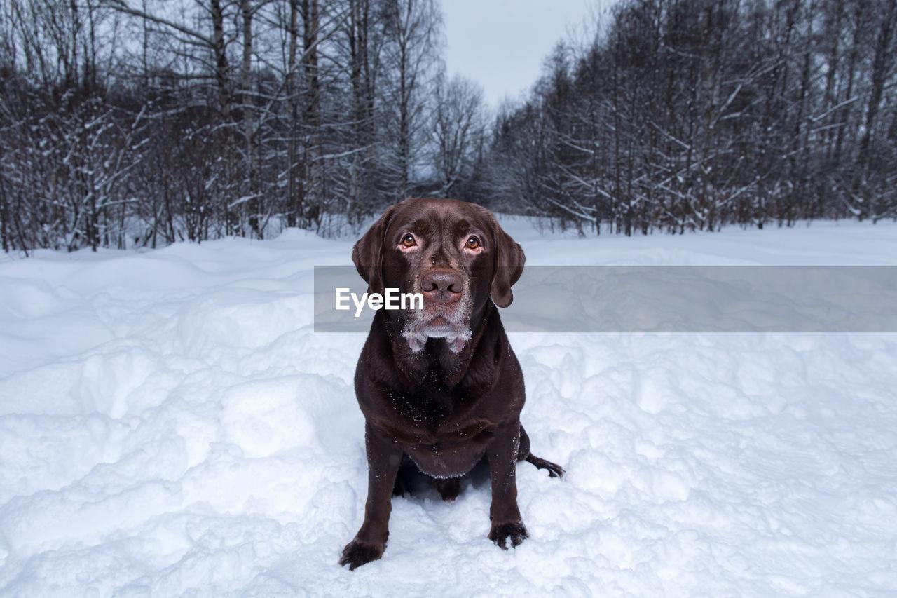 dog, canine, pets, domestic, mammal, domestic animals, one animal, animal themes, animal, vertebrate, snow, cold temperature, winter, field, no people, portrait, white color, nature, day, purebred dog