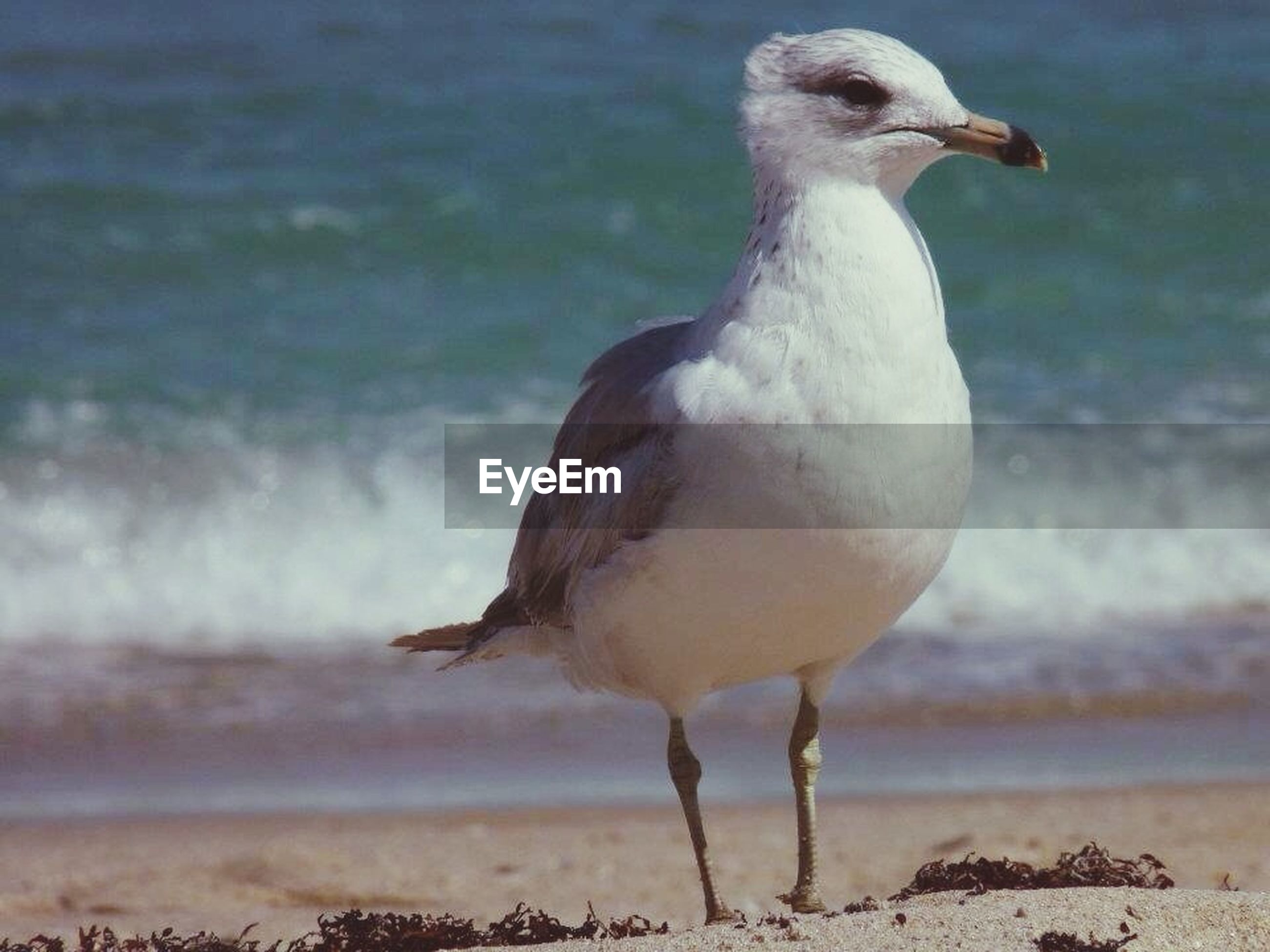 bird, animal themes, animals in the wild, one animal, wildlife, water, seagull, beak, focus on foreground, nature, close-up, lake, perching, outdoors, beauty in nature, full length, day, side view, sea, no people