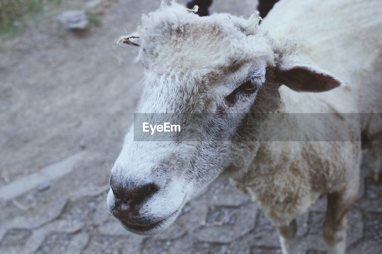 animal, animal themes, mammal, domestic animals, livestock, vertebrate, one animal, pets, domestic, close-up, focus on foreground, animal body part, day, no people, animal head, outdoors, nature, field, sheep, animal wildlife, herbivorous, snout