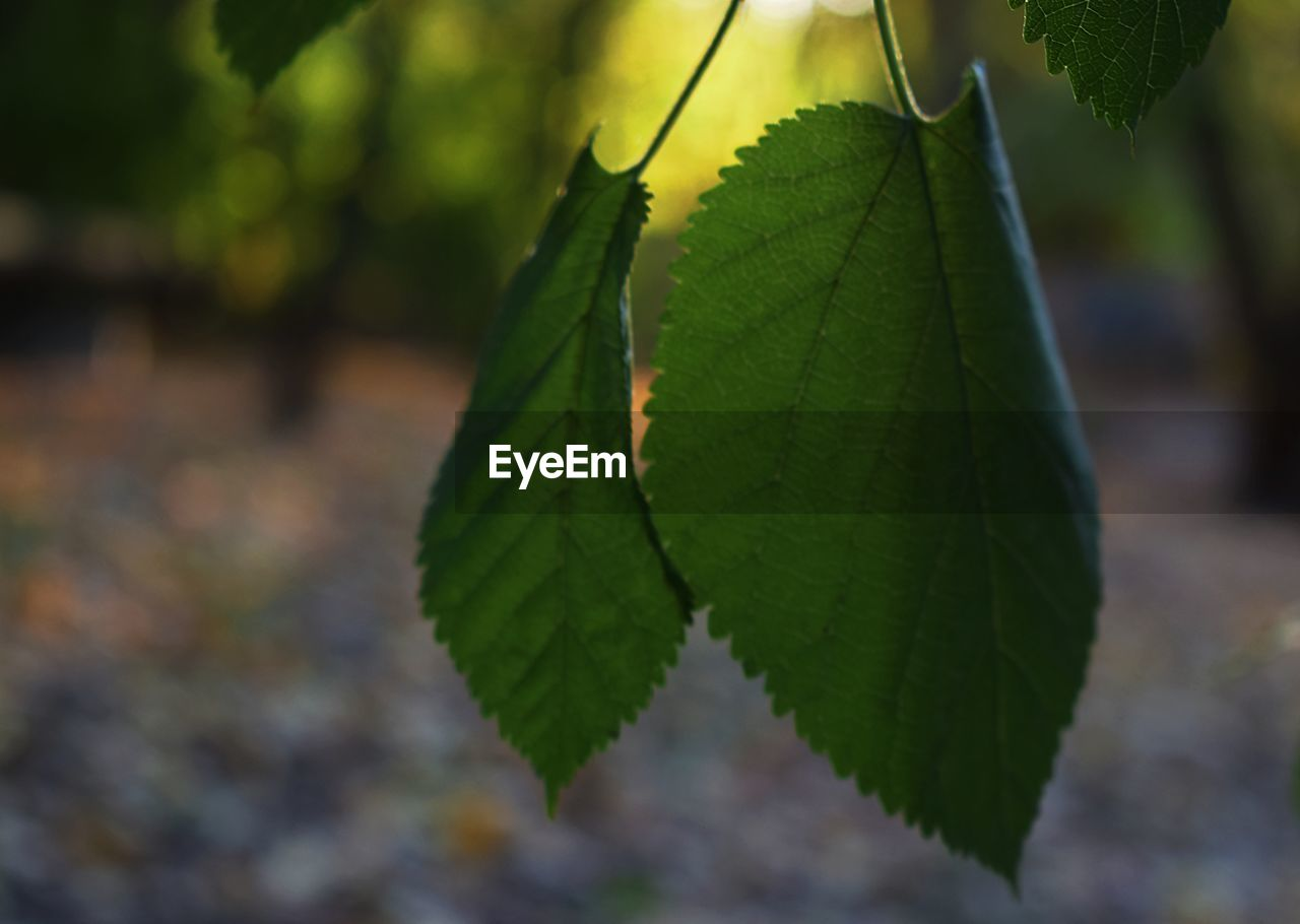 leaf, plant part, plant, green color, close-up, growth, focus on foreground, nature, day, beauty in nature, no people, leaf vein, selective focus, outdoors, tranquility, tree, leaves, autumn, change, sunlight