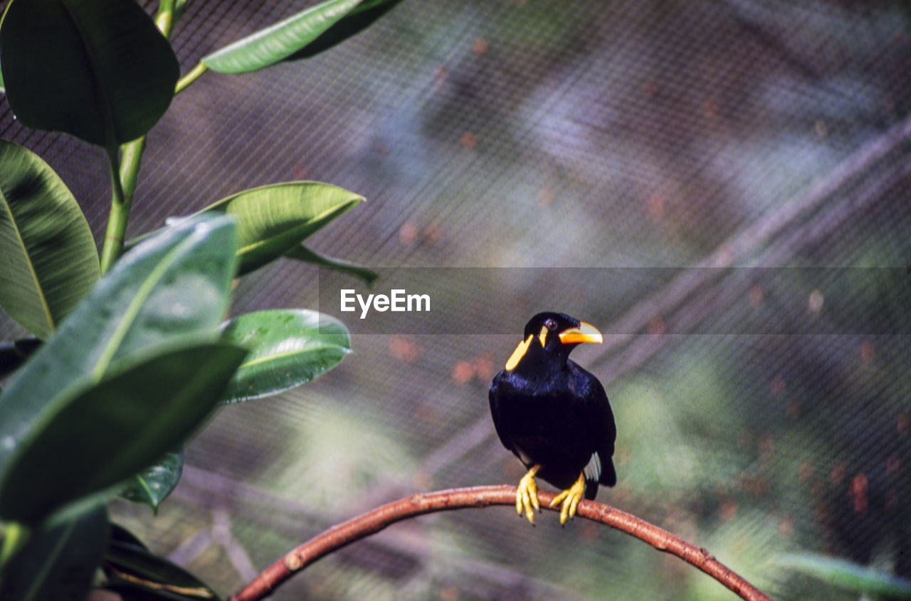 bird, animals in the wild, animal wildlife, vertebrate, animal themes, animal, one animal, perching, plant part, leaf, focus on foreground, no people, day, nature, outdoors, plant, branch, tree, blackbird, beauty in nature