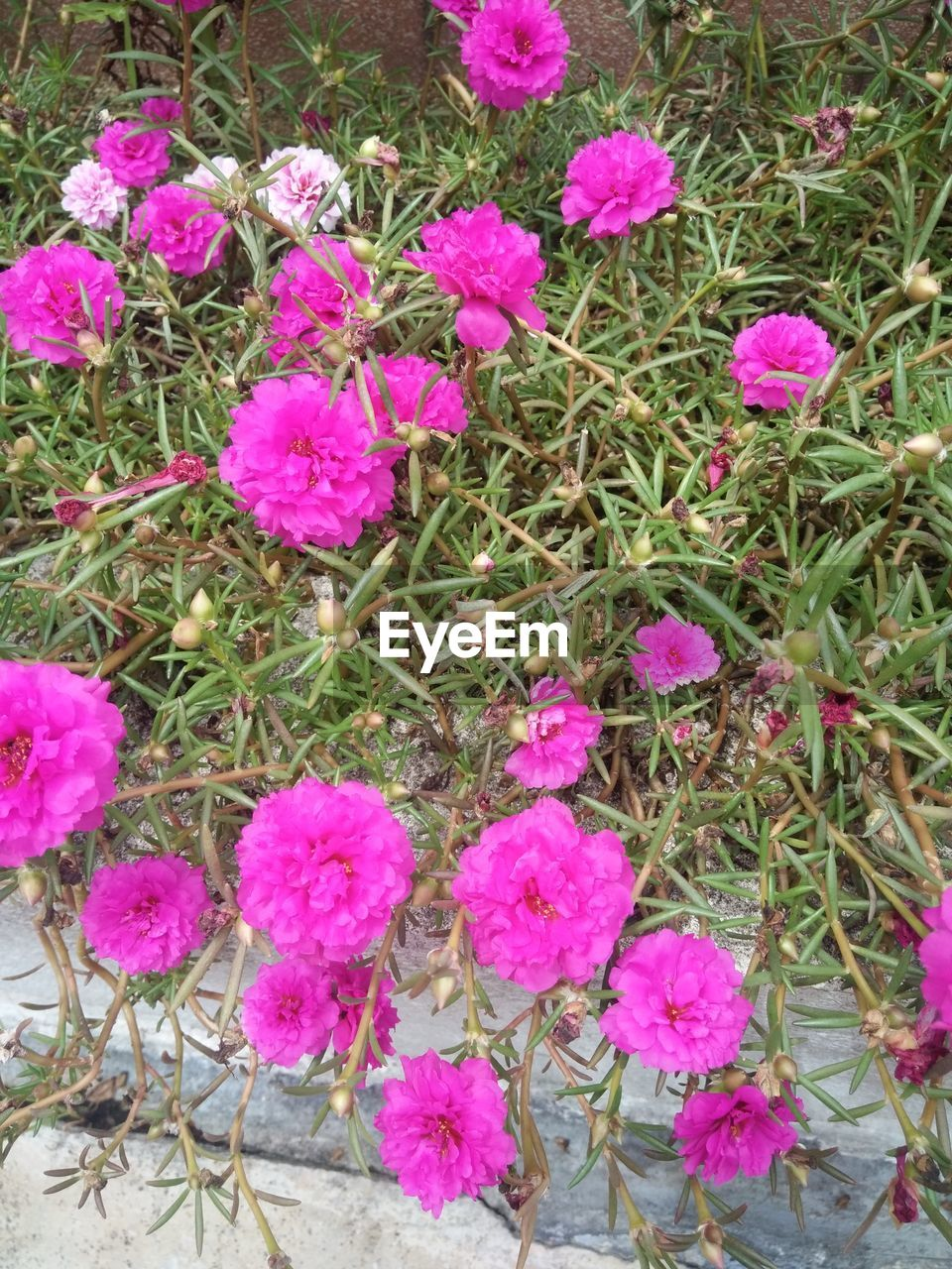 flower, pink color, growth, nature, plant, petal, fragility, beauty in nature, no people, freshness, outdoors, blooming, flower head, day, close-up, periwinkle