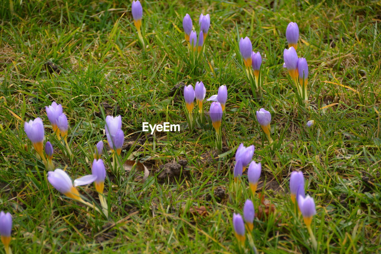 flower, growth, nature, beauty in nature, fragility, grass, petal, field, purple, plant, freshness, crocus, snowdrop, day, no people, outdoors, springtime, flower head, blooming, close-up