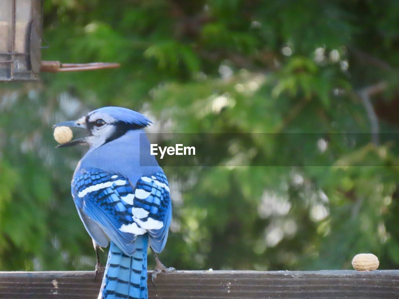 animal, bird, animal themes, vertebrate, animal wildlife, one animal, animals in the wild, focus on foreground, wood - material, perching, day, blue, no people, nature, bench, tree, outdoors, railing, plant, close-up