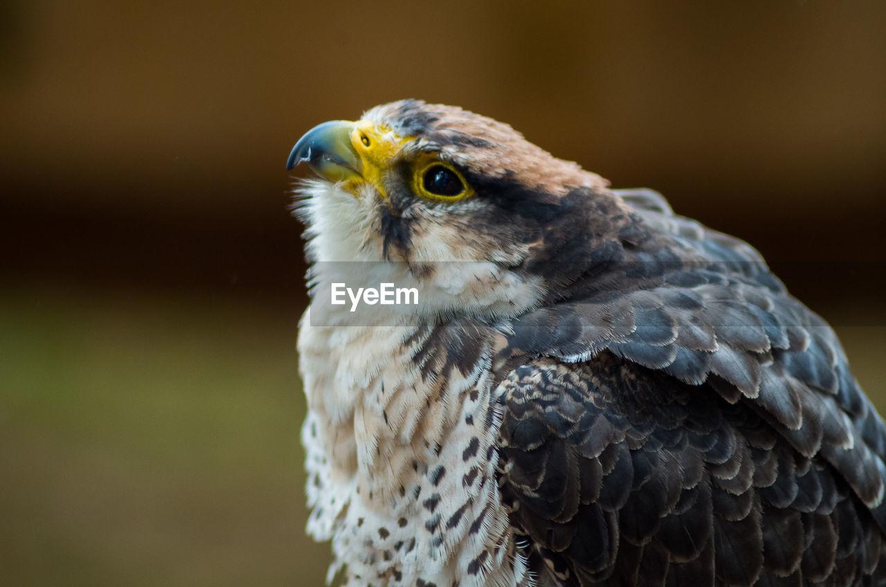 Close-up of hawk perching