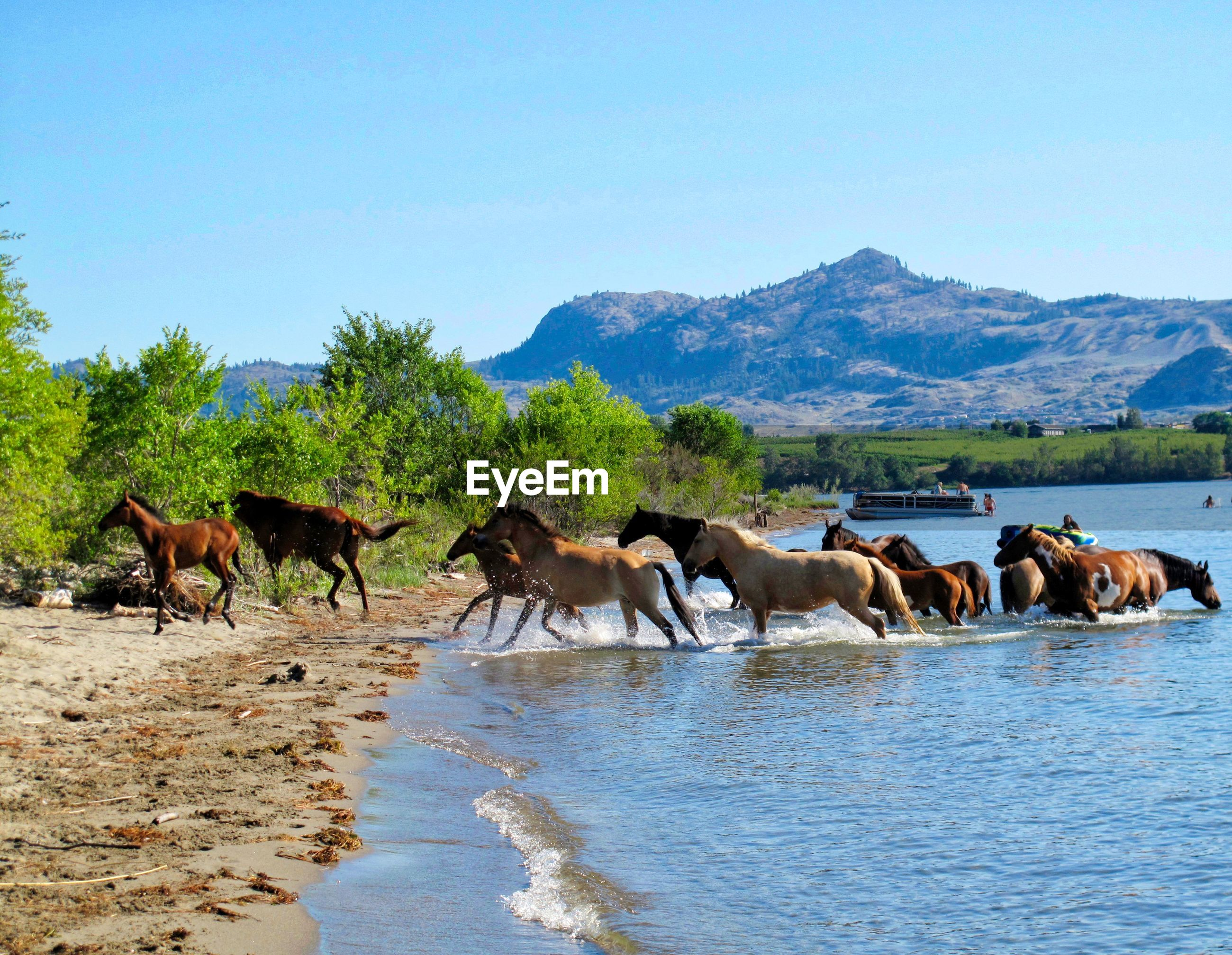 Wild horses running out of a lake