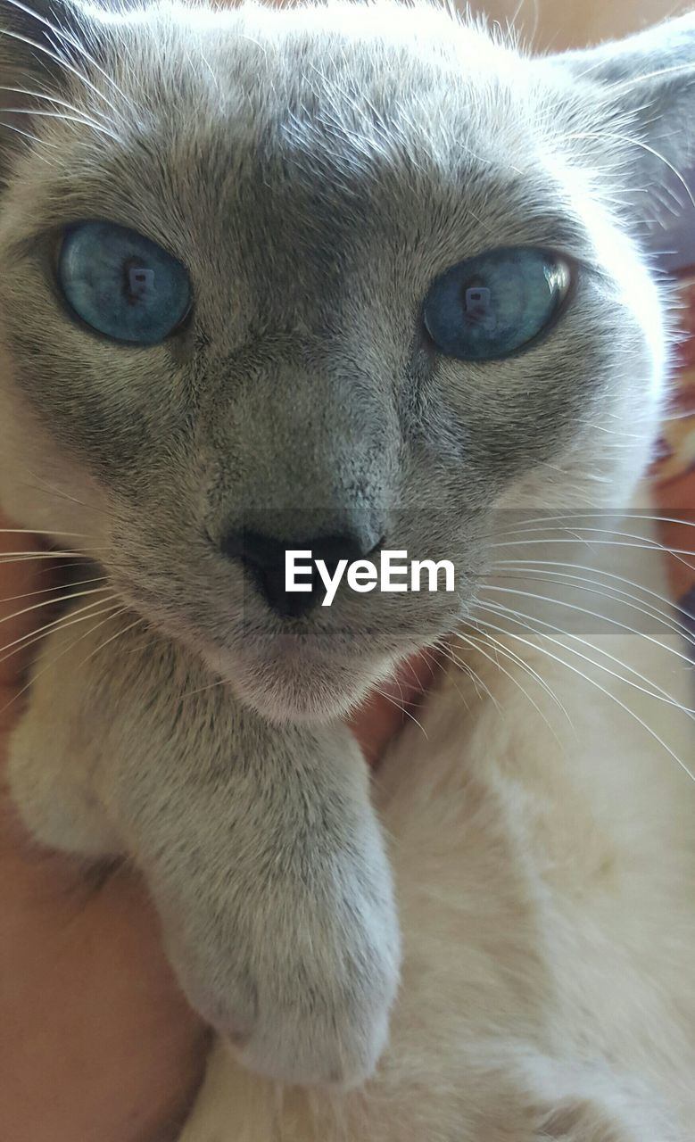 one animal, mammal, animal themes, domestic cat, whisker, portrait, looking at camera, pets, close-up, feline, domestic animals, animal head, no people, day, outdoors