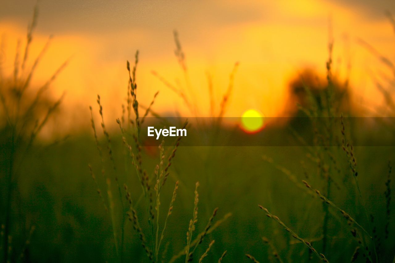 sunset, growth, plant, beauty in nature, sky, tranquility, nature, field, selective focus, land, orange color, close-up, agriculture, no people, tranquil scene, landscape, scenics - nature, sun, crop, farm, outdoors, lens flare, blade of grass, stalk