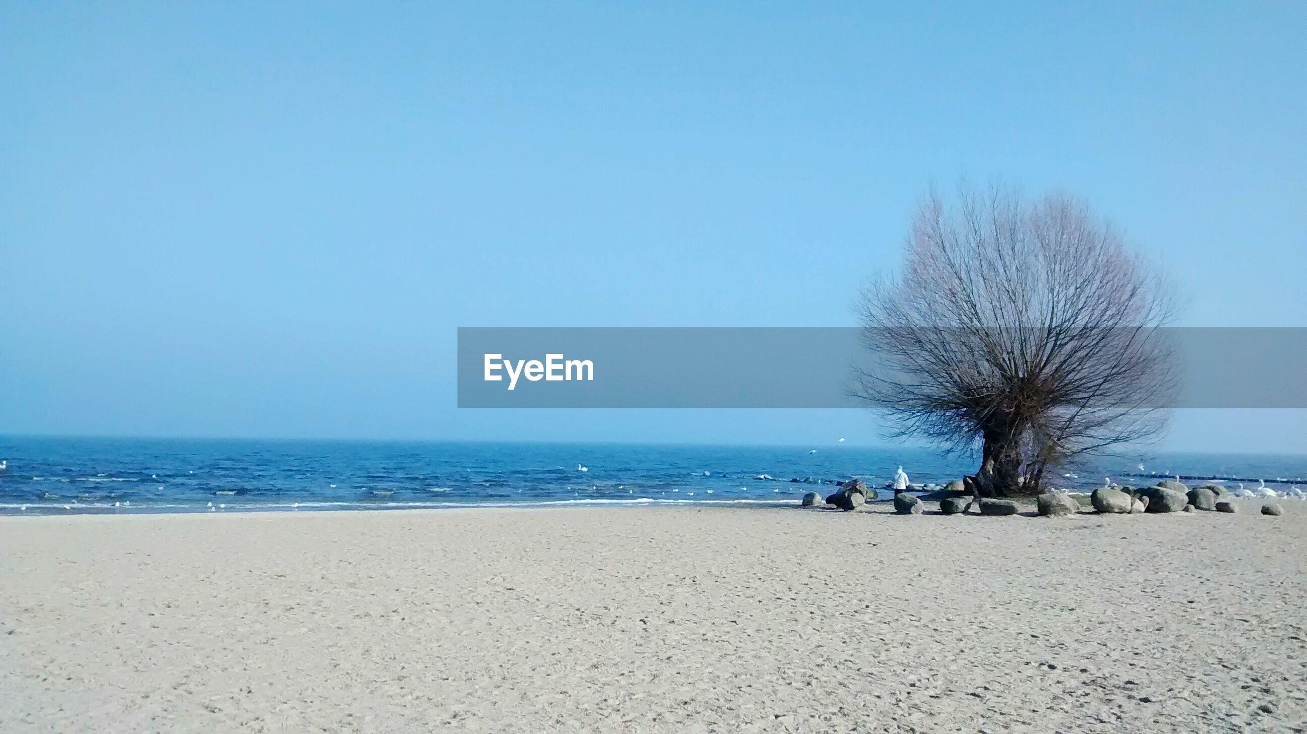 Bare Tree On Beach Against Clear Blue Sky