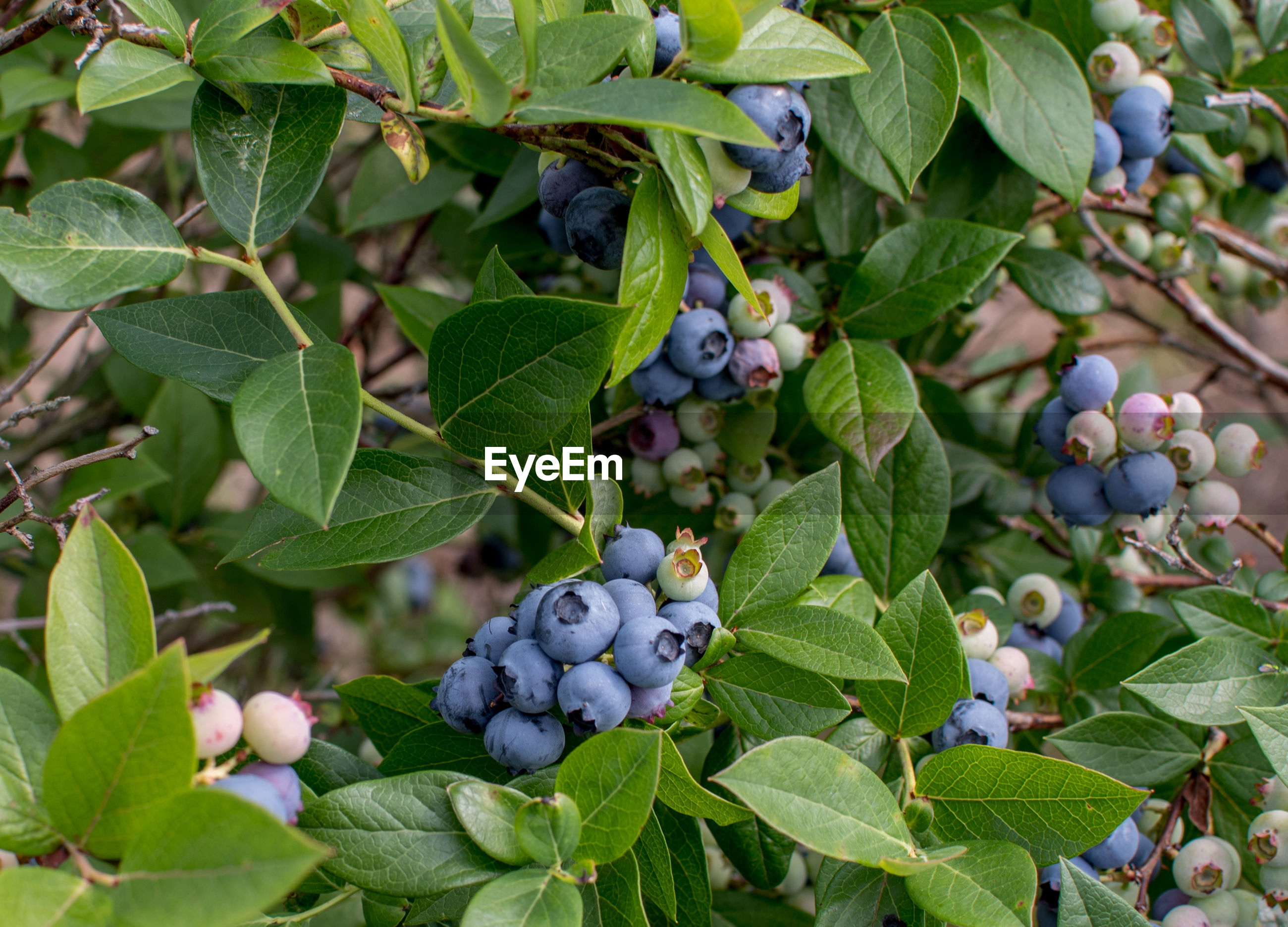 purple blueberries, grow by the thousands on bushes in this rural michigan usa blueberry farm