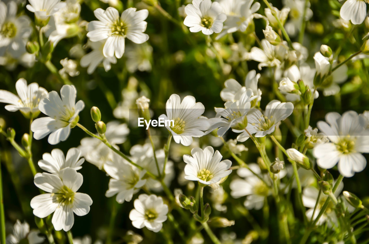 flower, nature, growth, plant, white color, beauty in nature, fragility, blooming, no people, petal, outdoors, day, freshness, flower head, close-up