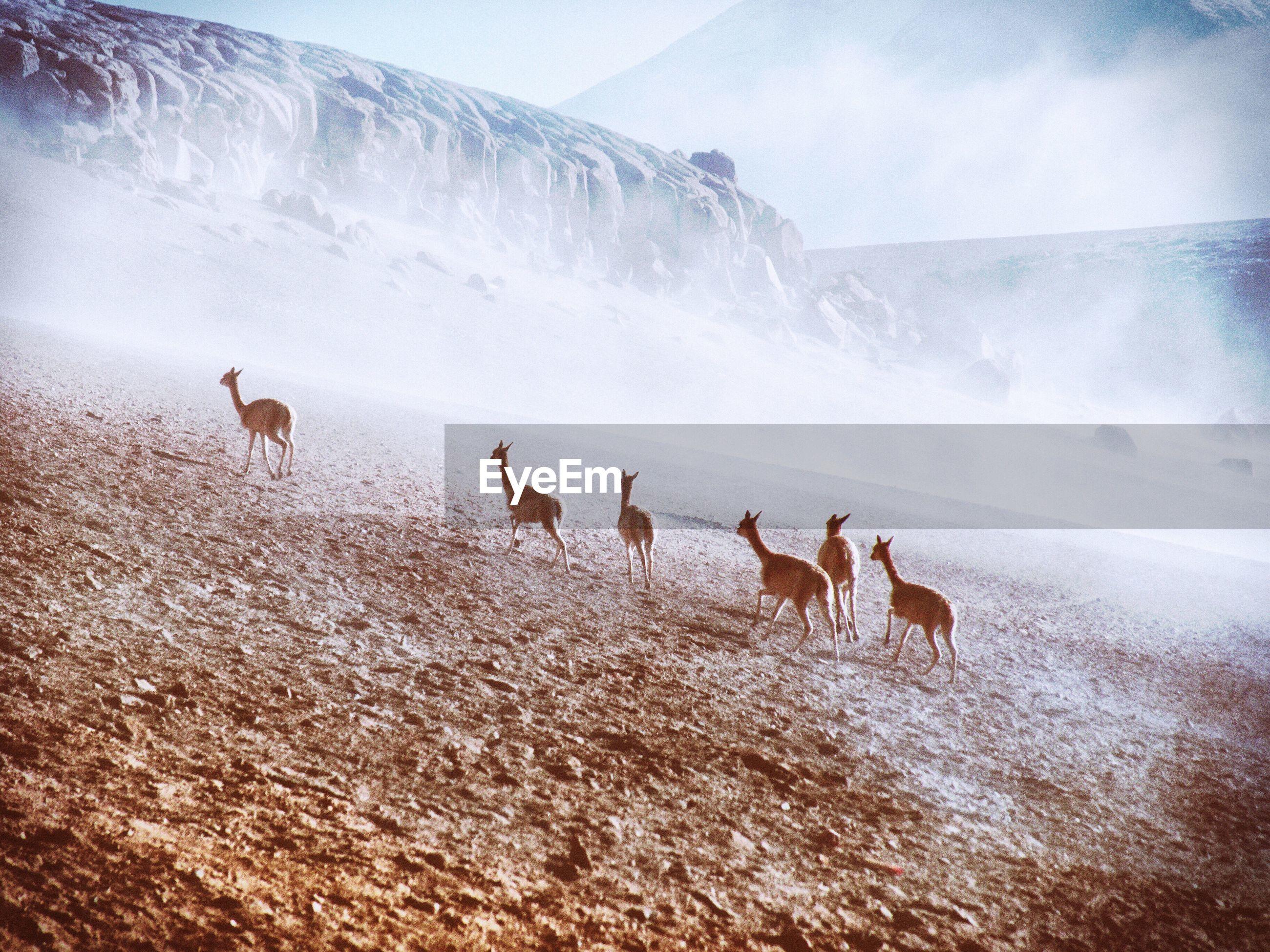Llamas running on field during winter