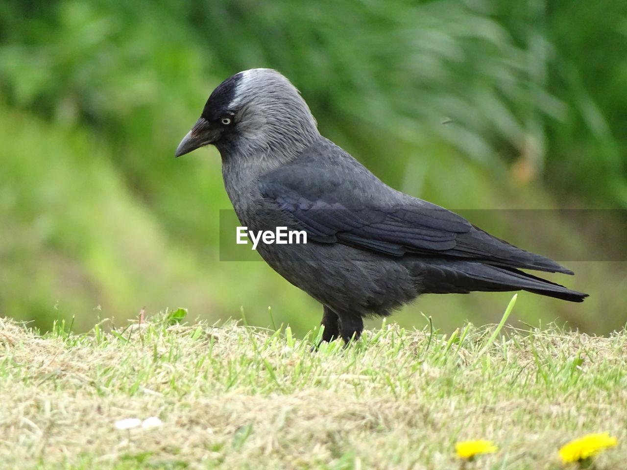 one animal, bird, animal themes, animals in the wild, nature, day, no people, grass, animal wildlife, field, blackbird, outdoors, close-up, crow, raven - bird, full length, perching