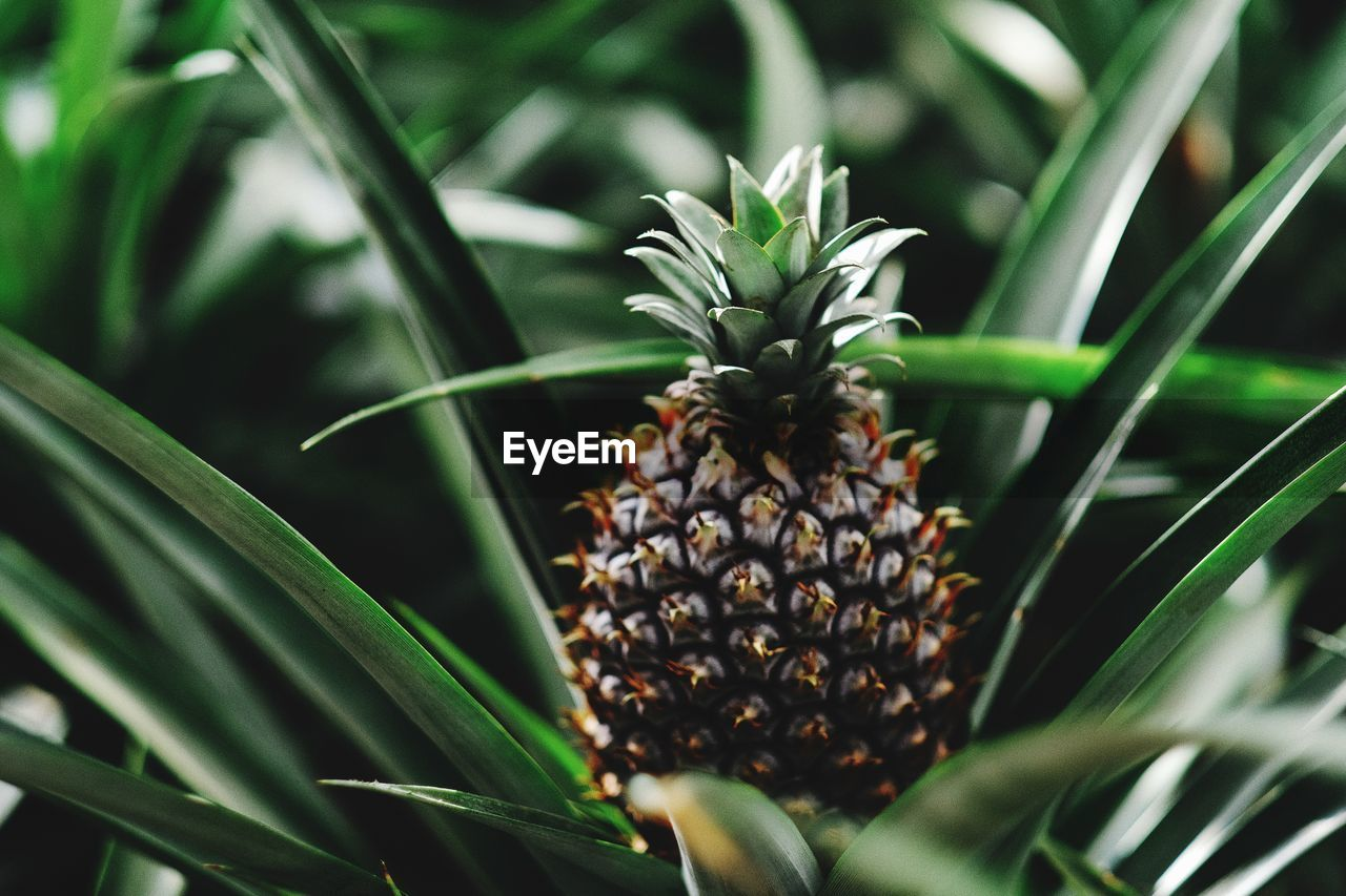 growth, green color, plant, pineapple, leaf, freshness, food and drink, fruit, plant part, food, close-up, selective focus, no people, healthy eating, day, nature, beauty in nature, tropical fruit, outdoors, focus on foreground, plantation