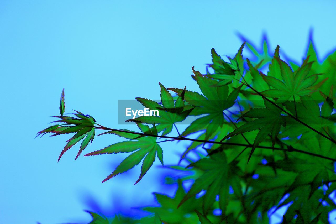 Close-Up Of Maple Leaves With Branch