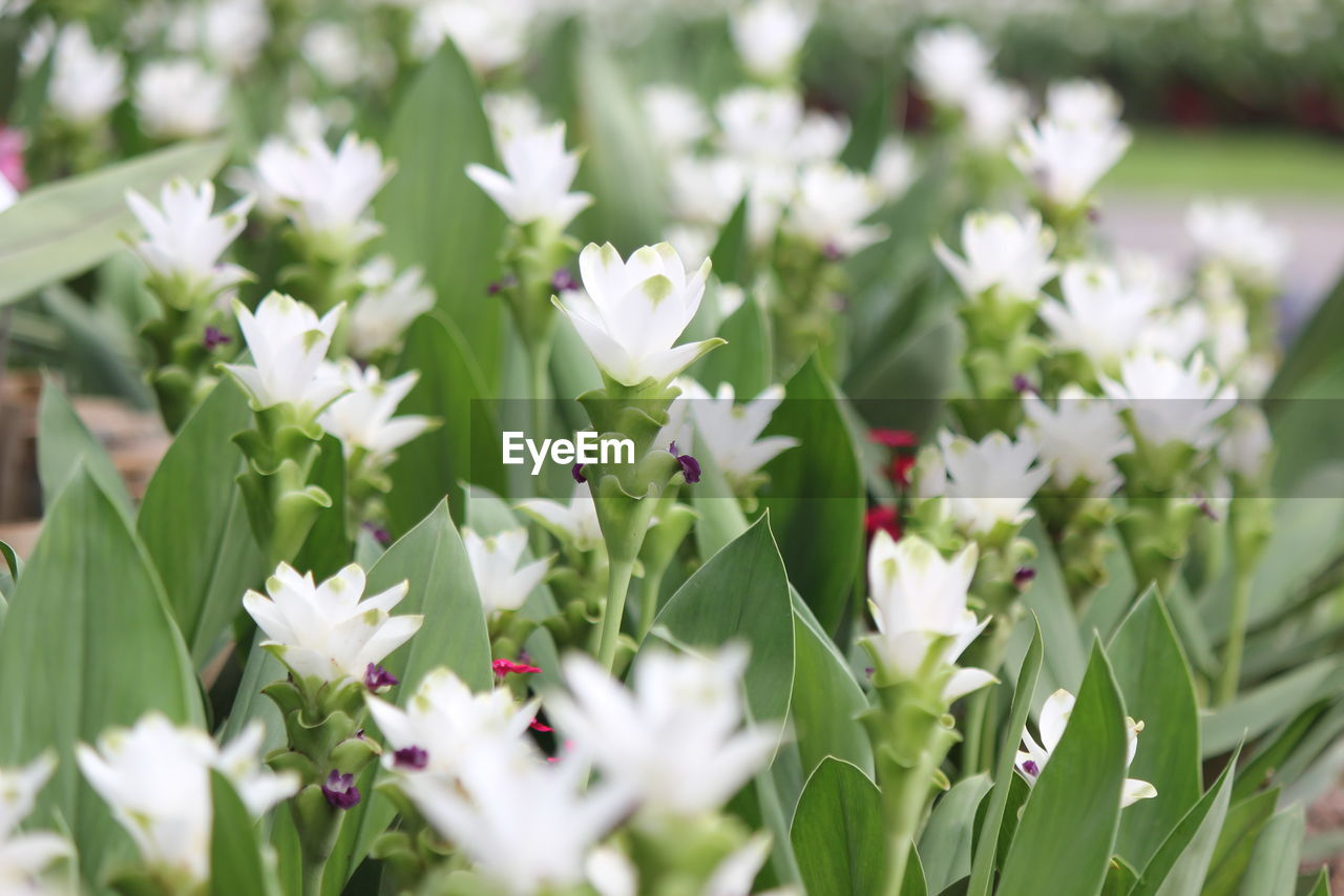 flowering plant, flower, plant, freshness, beauty in nature, vulnerability, fragility, growth, petal, close-up, white color, flower head, day, selective focus, nature, inflorescence, no people, green color, field, land, outdoors