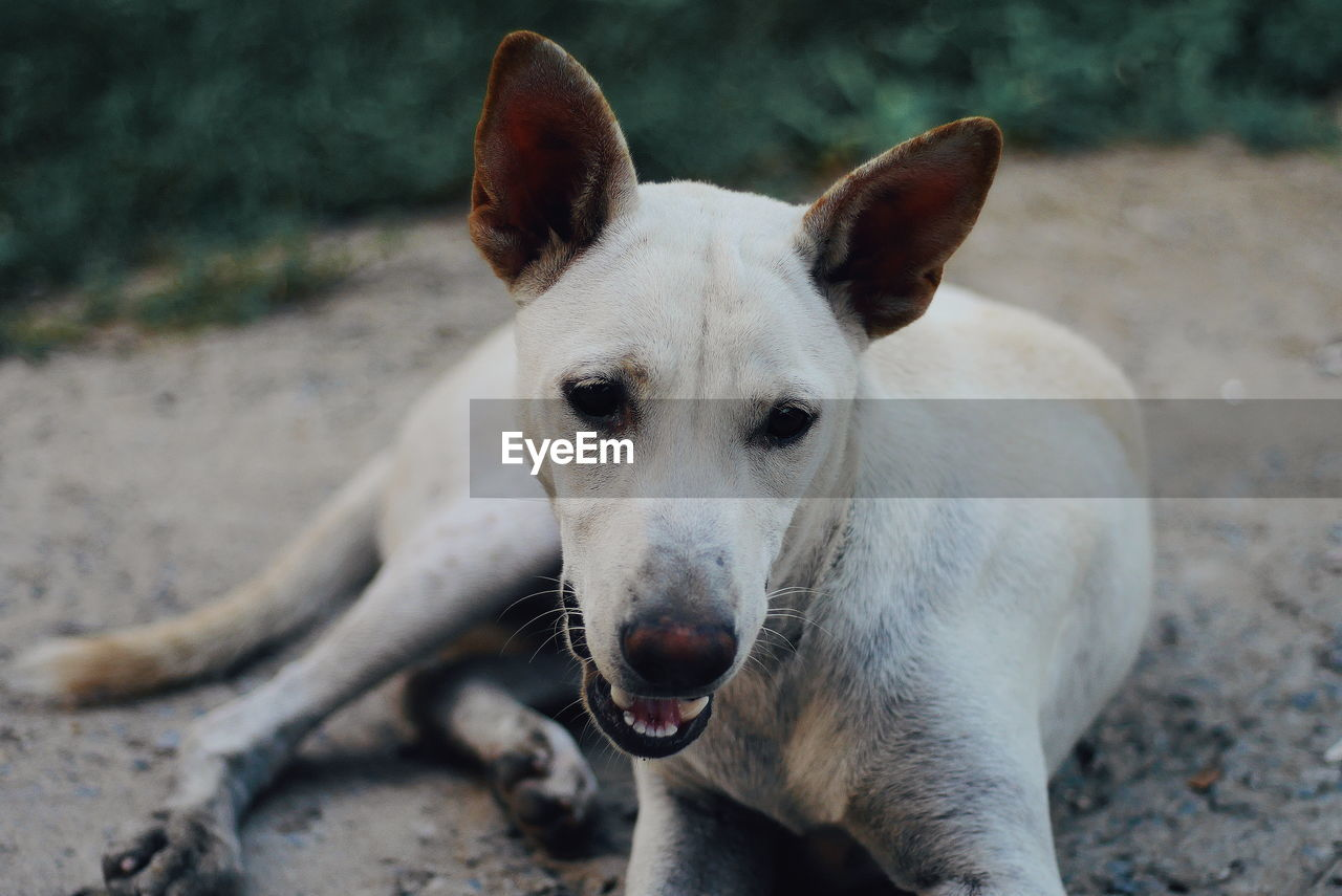 mammal, one animal, domestic animals, pets, domestic, vertebrate, portrait, canine, dog, focus on foreground, no people, day, looking at camera, nature, animal body part, land, close-up, outdoors, mouth open, animal mouth, whisker
