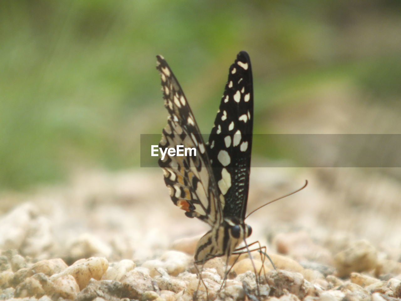 animals in the wild, animal wildlife, one animal, animal themes, animal, insect, animal wing, invertebrate, butterfly - insect, nature, beauty in nature, day, close-up, focus on foreground, no people, animal markings, outdoors, natural pattern, land, selective focus, butterfly