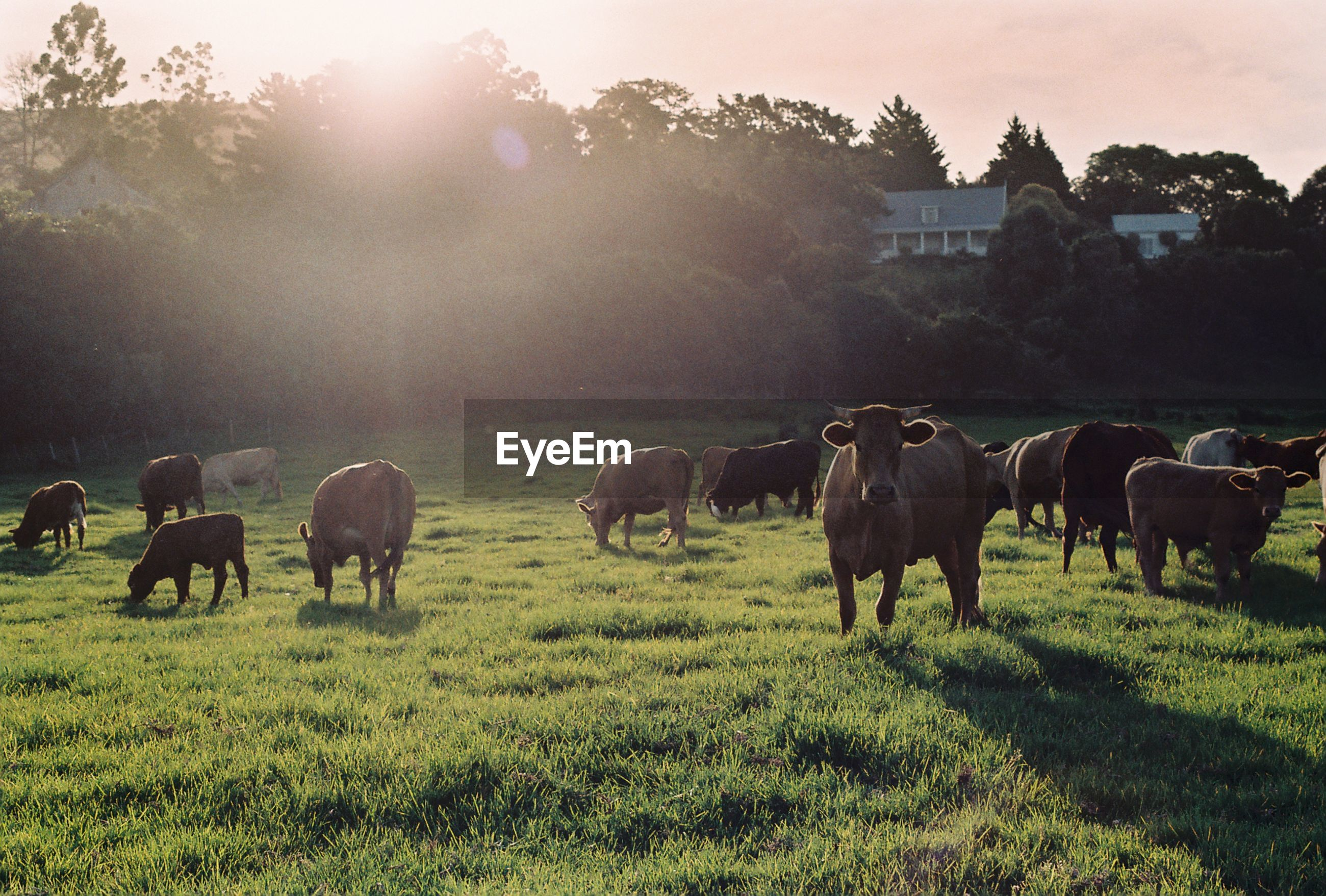 Cows grazing on grassy field during sunny day