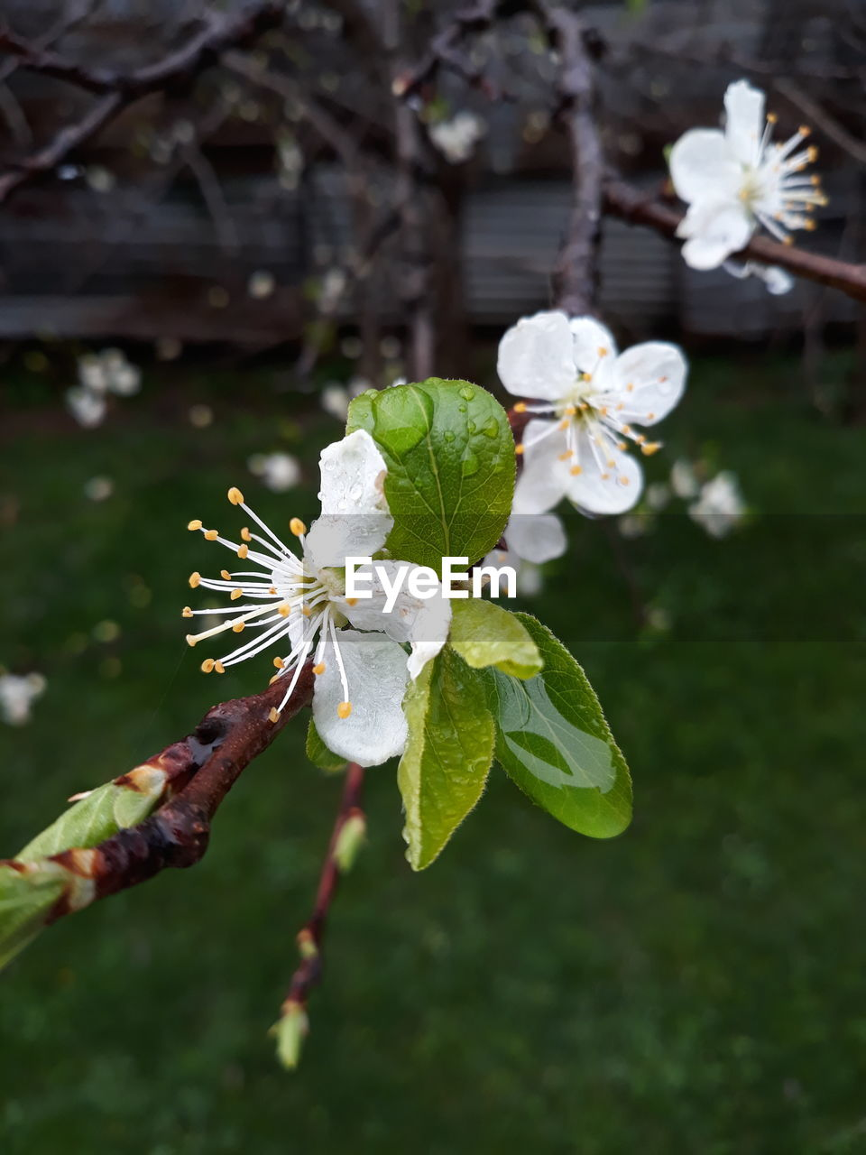 flower, fragility, beauty in nature, white color, growth, nature, freshness, petal, flower head, blossom, botany, day, apple blossom, close-up, springtime, plant, branch, focus on foreground, leaf, no people, outdoors, stamen, tree, blooming
