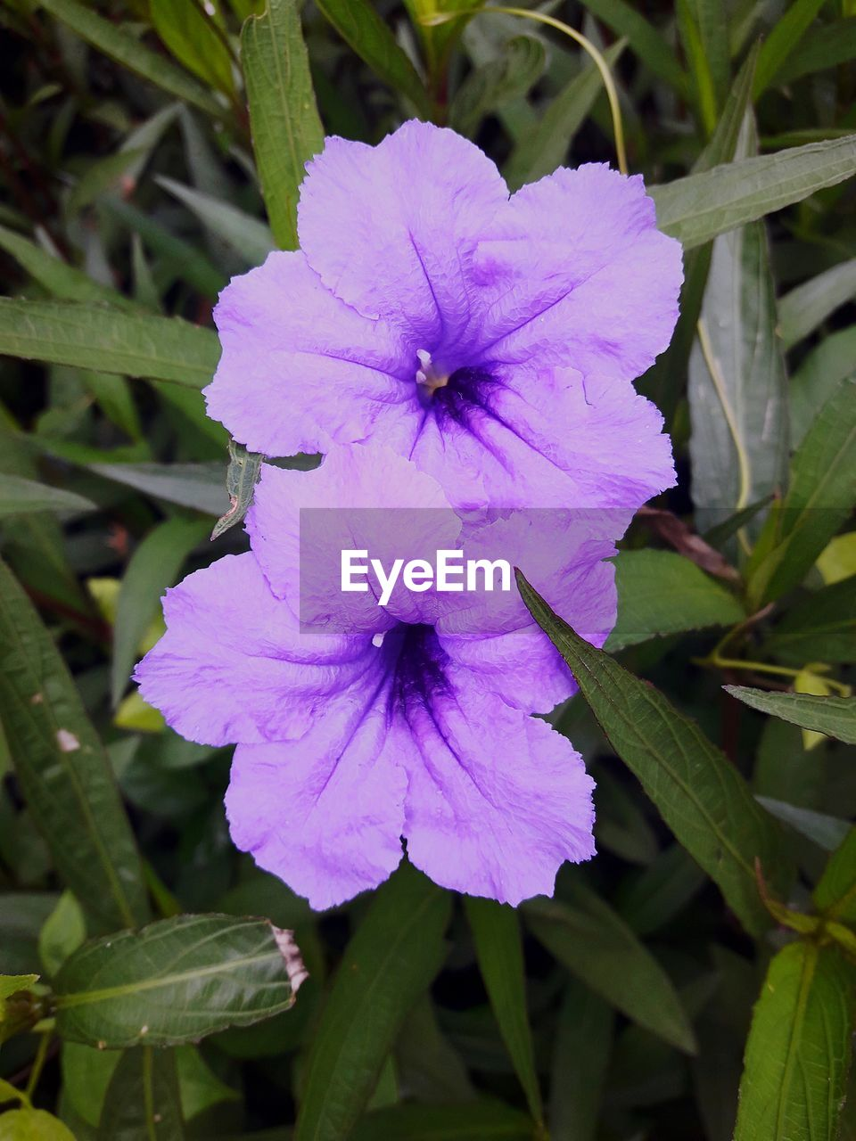 plant, flower, flowering plant, petal, inflorescence, fragility, flower head, vulnerability, growth, beauty in nature, freshness, close-up, nature, focus on foreground, purple, no people, day, petunia, plant part