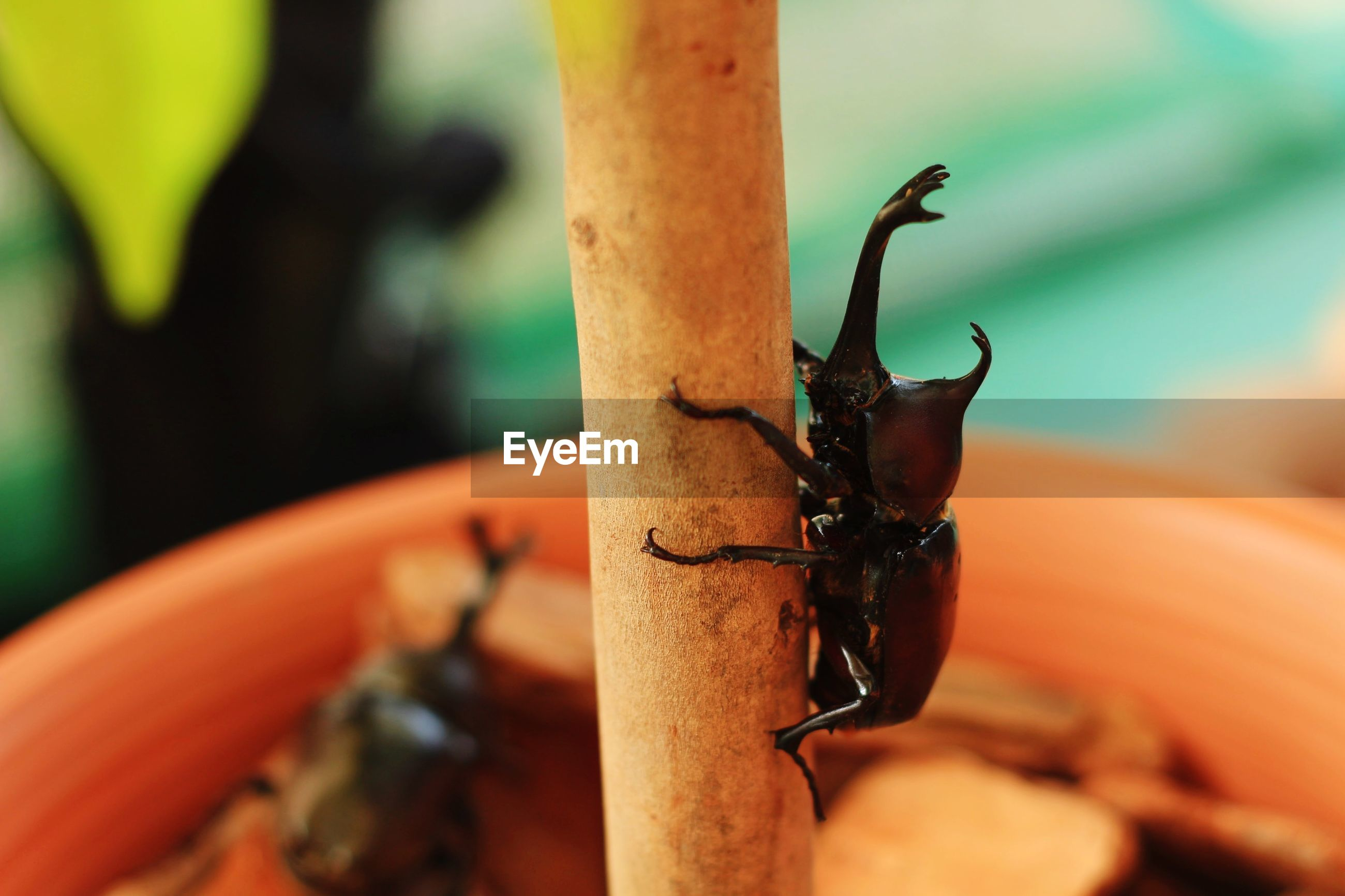 Close-up of five horn rhino beetle on potted plant outdoors