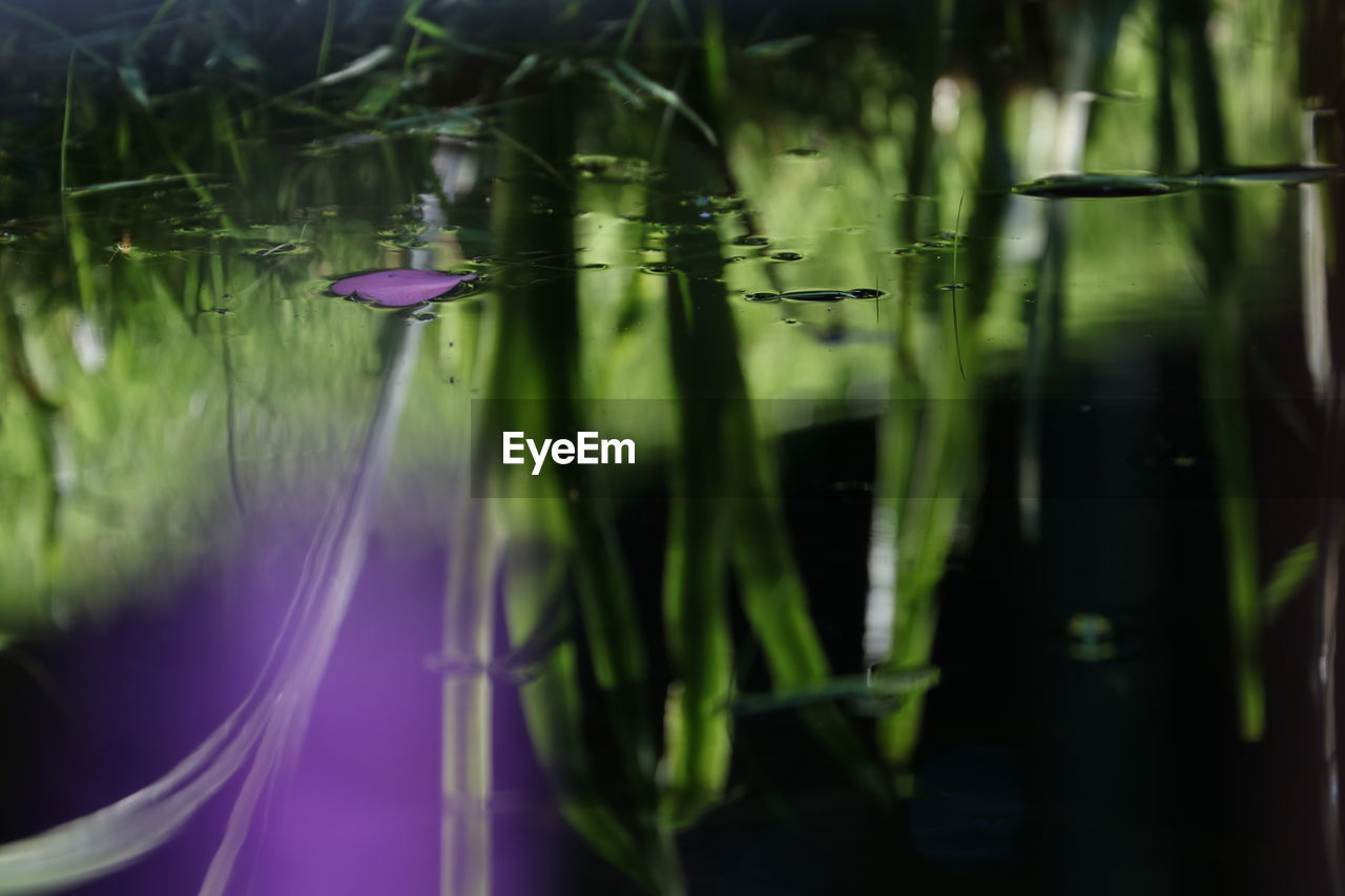 plant, green color, water, growth, nature, no people, beauty in nature, selective focus, freshness, flower, close-up, grass, lake, day, flowering plant, purple, water lily, plant part, leaf, outdoors, blade of grass, floating on water, lotus water lily