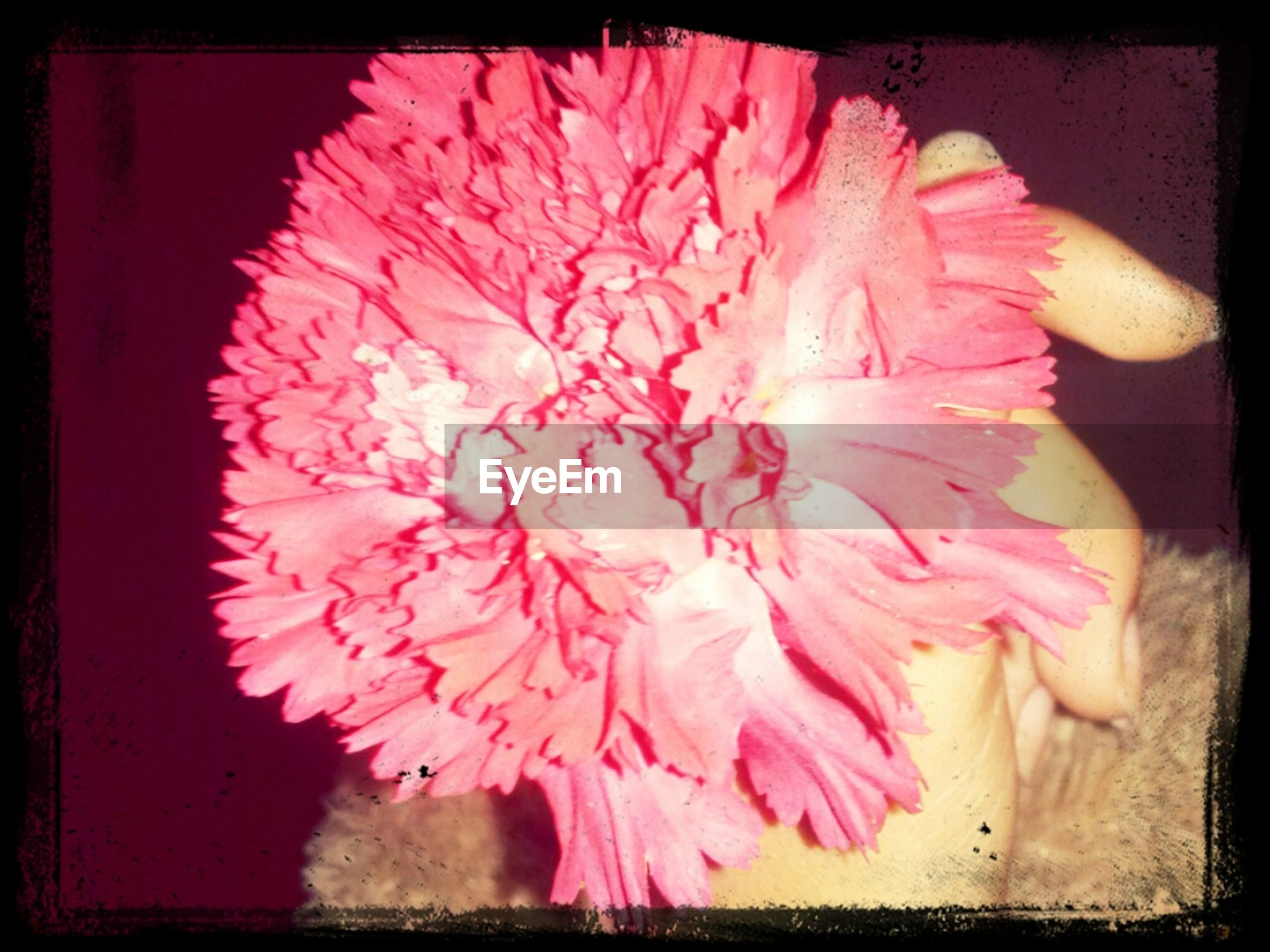 transfer print, auto post production filter, flower, freshness, indoors, close-up, petal, pink color, flower head, red, studio shot, fragility, still life, pink, no people, black background, frame, food and drink, beauty in nature, single flower