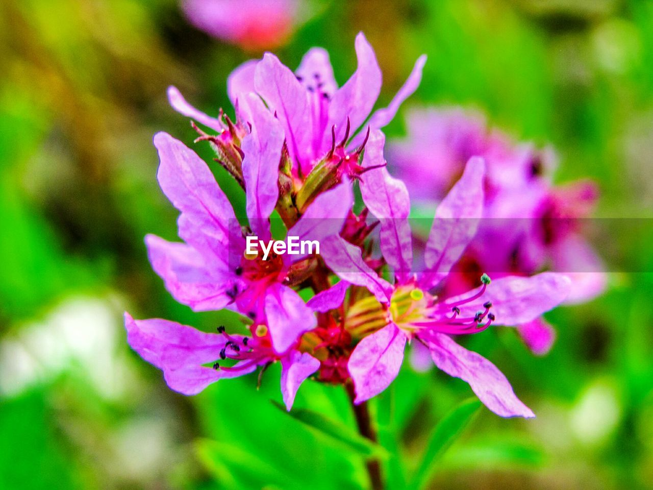 flower, flowering plant, plant, beauty in nature, fragility, vulnerability, freshness, growth, petal, close-up, pink color, inflorescence, day, nature, flower head, selective focus, focus on foreground, no people, outdoors, pollen, springtime, purple, spring