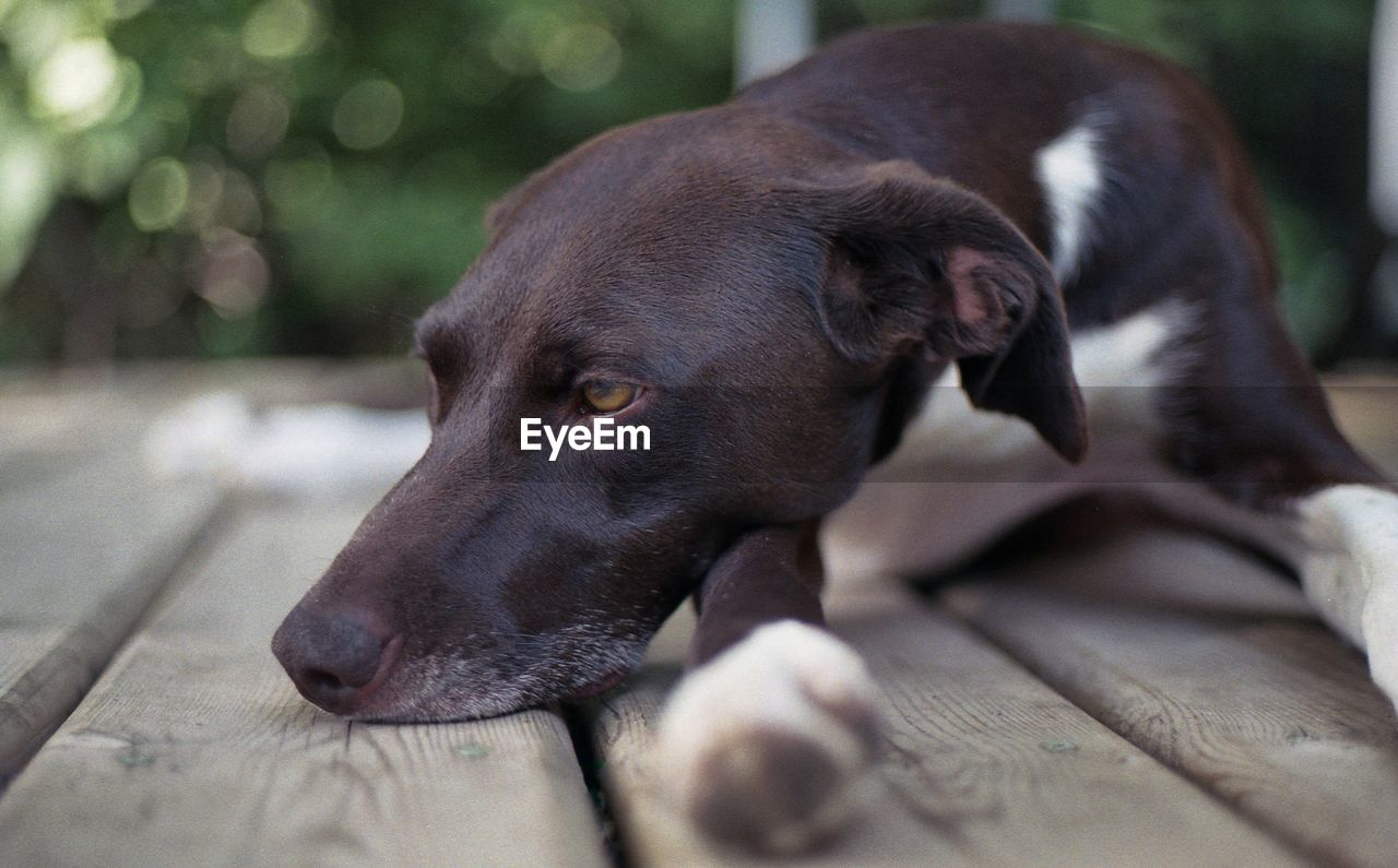 dog, canine, mammal, pets, domestic, domestic animals, one animal, animal themes, animal, vertebrate, relaxation, looking, selective focus, looking away, no people, close-up, resting, focus on foreground, day, animal body part, animal head, snout